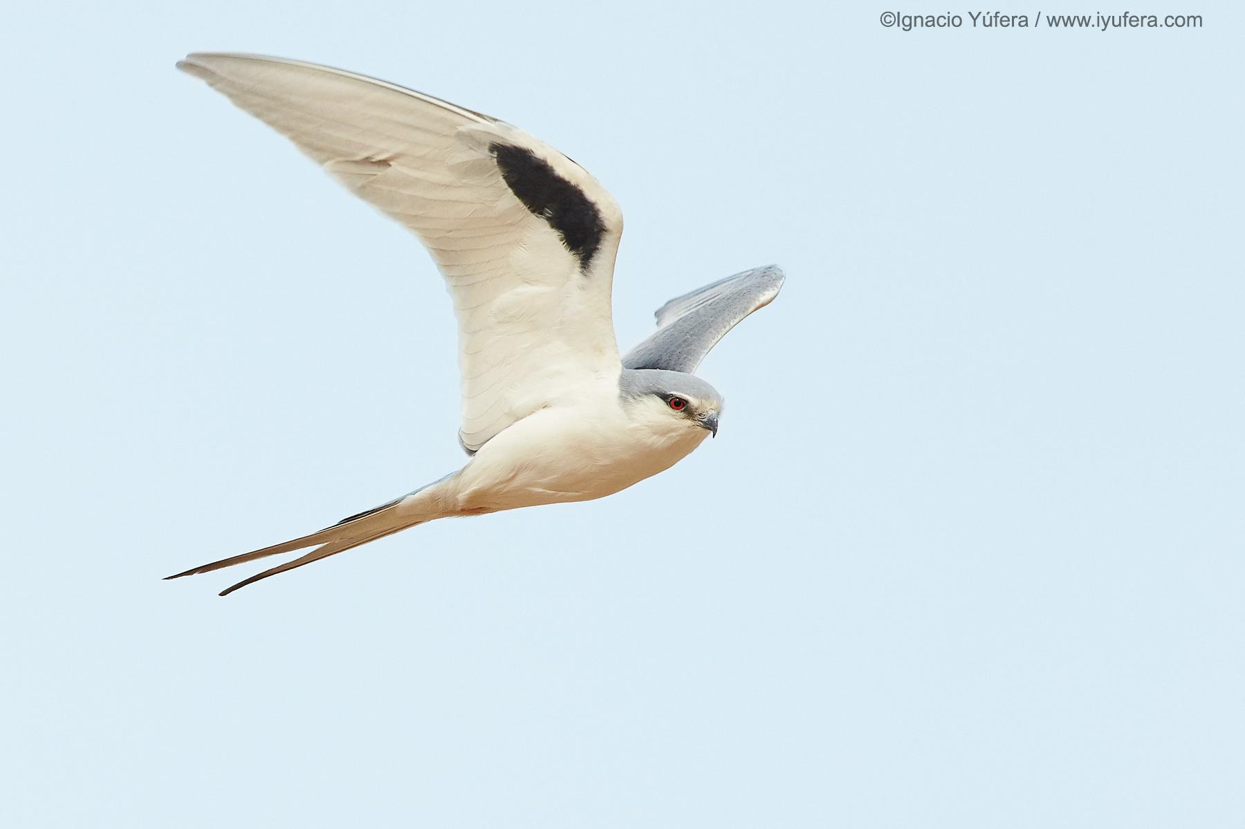 Scissor-tailed-kite-2