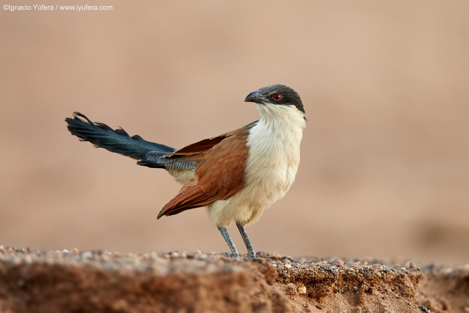 Senegal-coucal