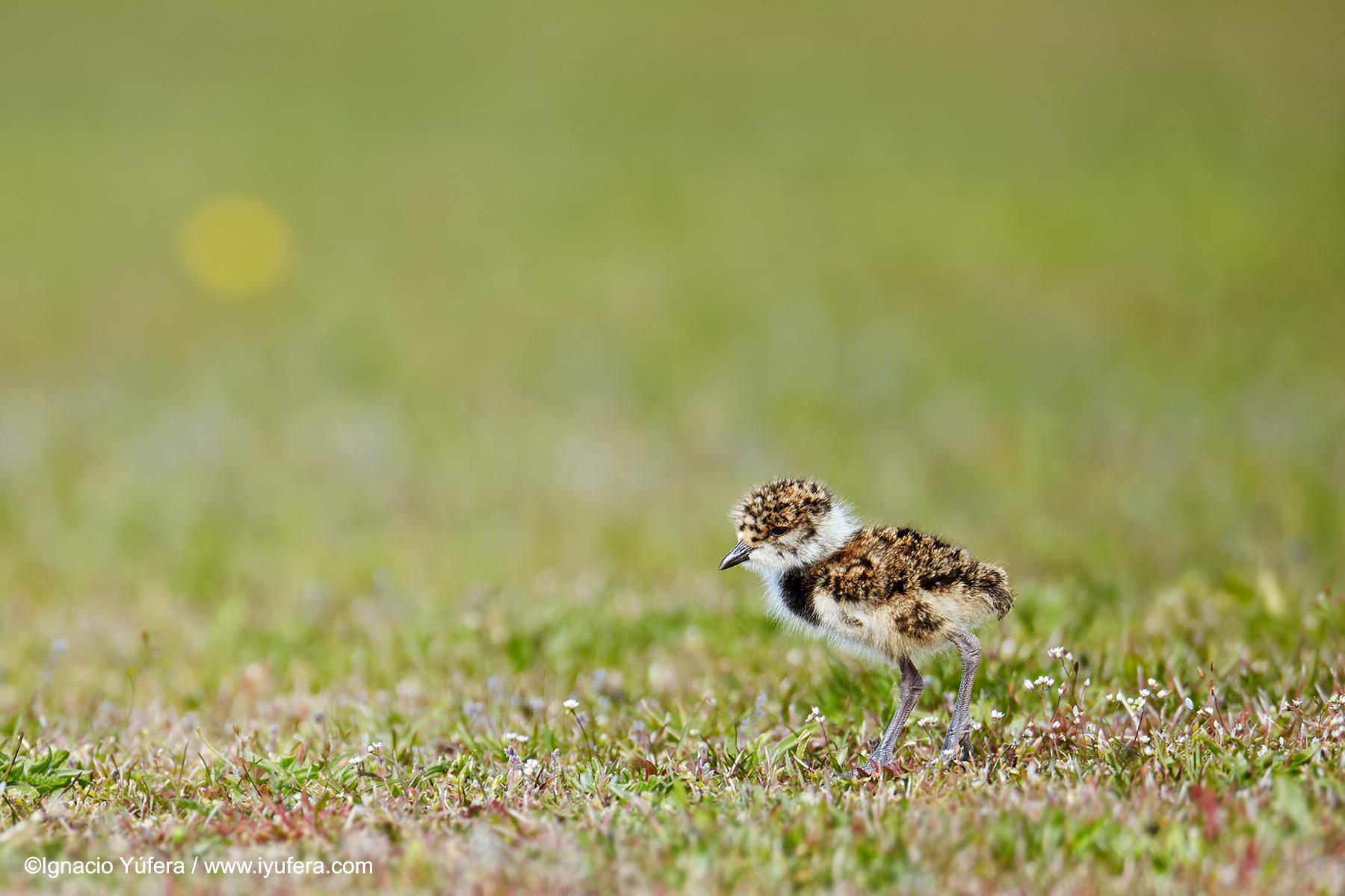 Southern Lapwing chick