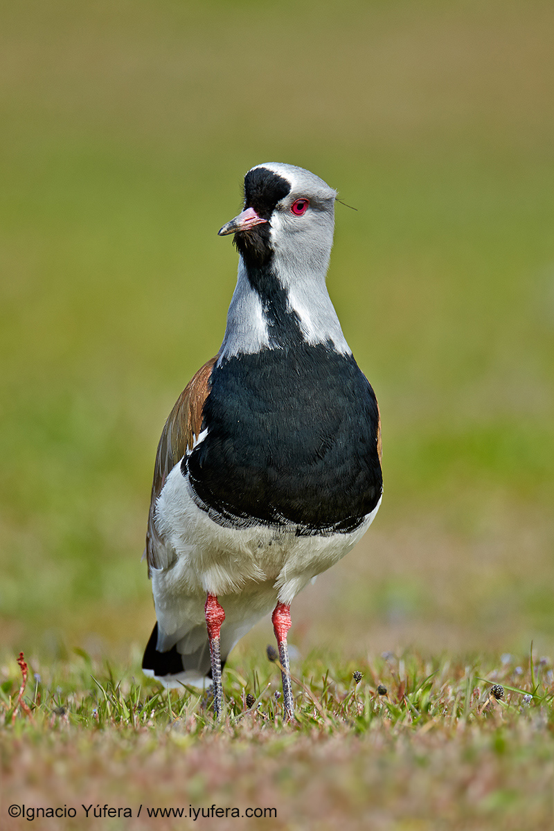 Southern-Lapwing-front