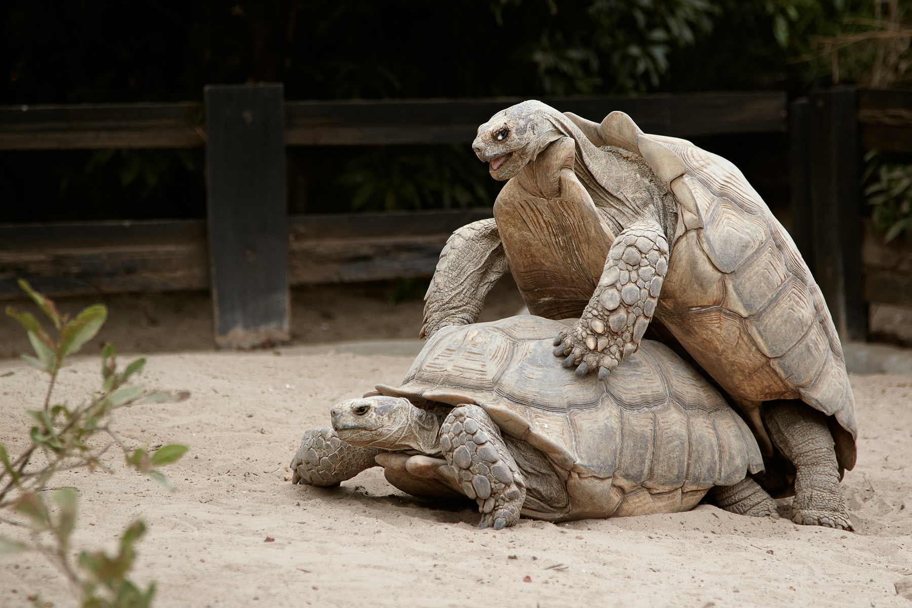 Spurred Tortoise (c)