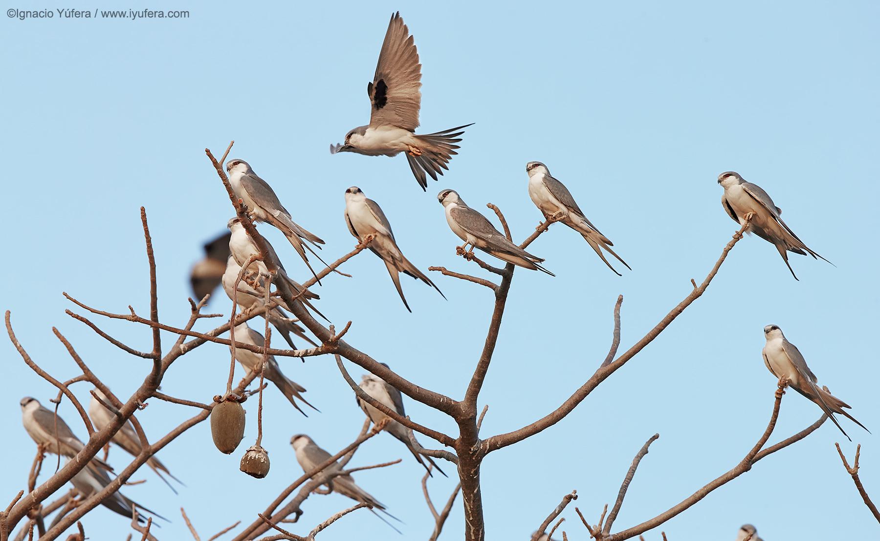 Swallow-tailed-kites-b