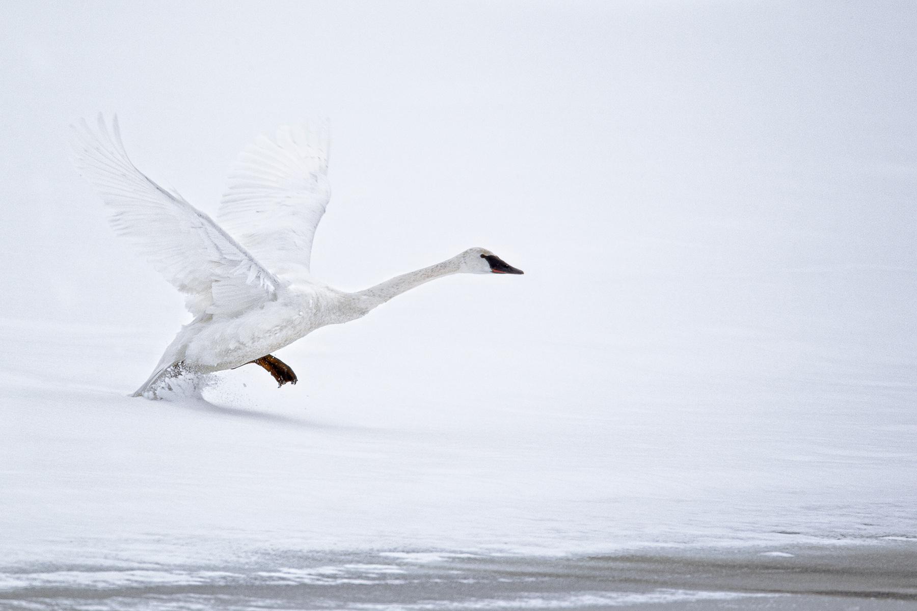 Trumpeter-Swan-takeoff