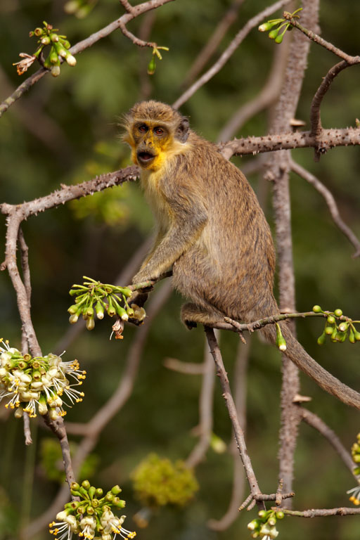 Vervet monkey yellow