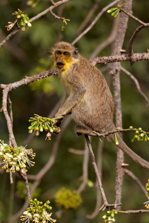 Vervet monkey yellow