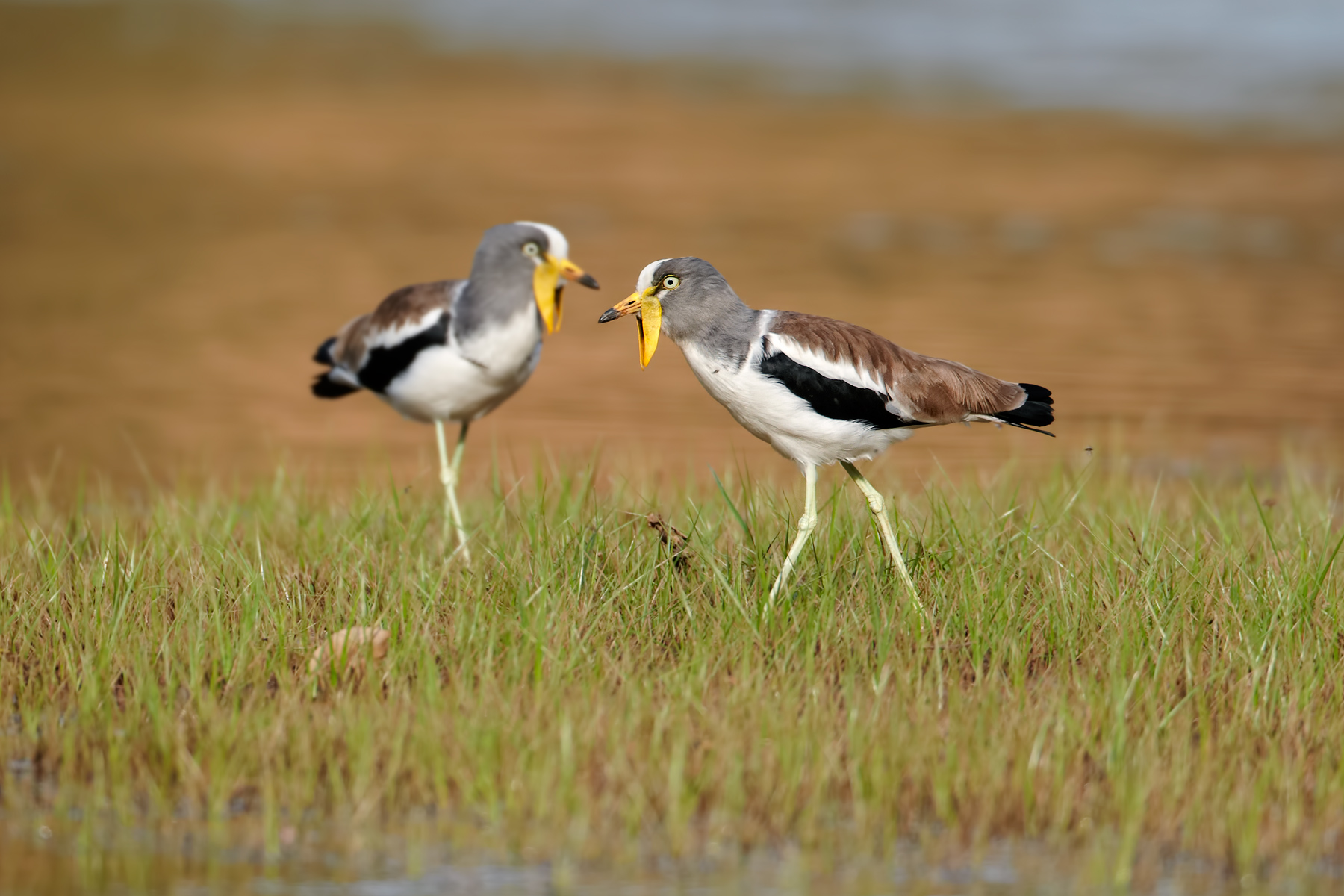 White-crowned-Lapwing-pair