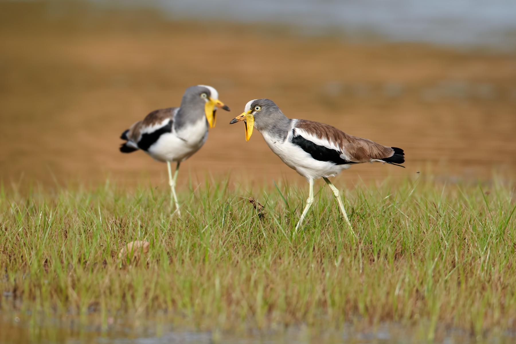 White-crowned-Lapwing-pair