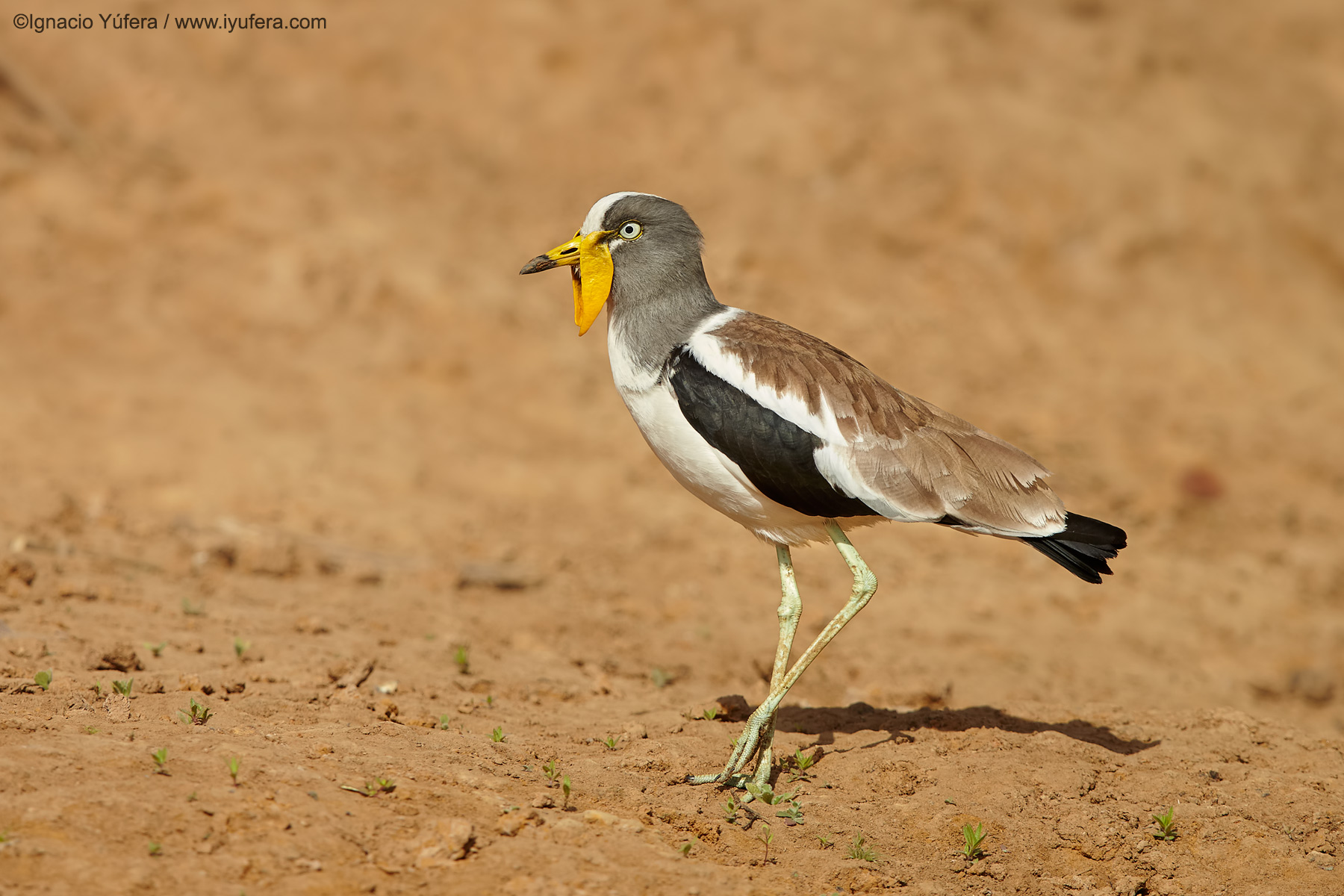 White-crowned-lapwing