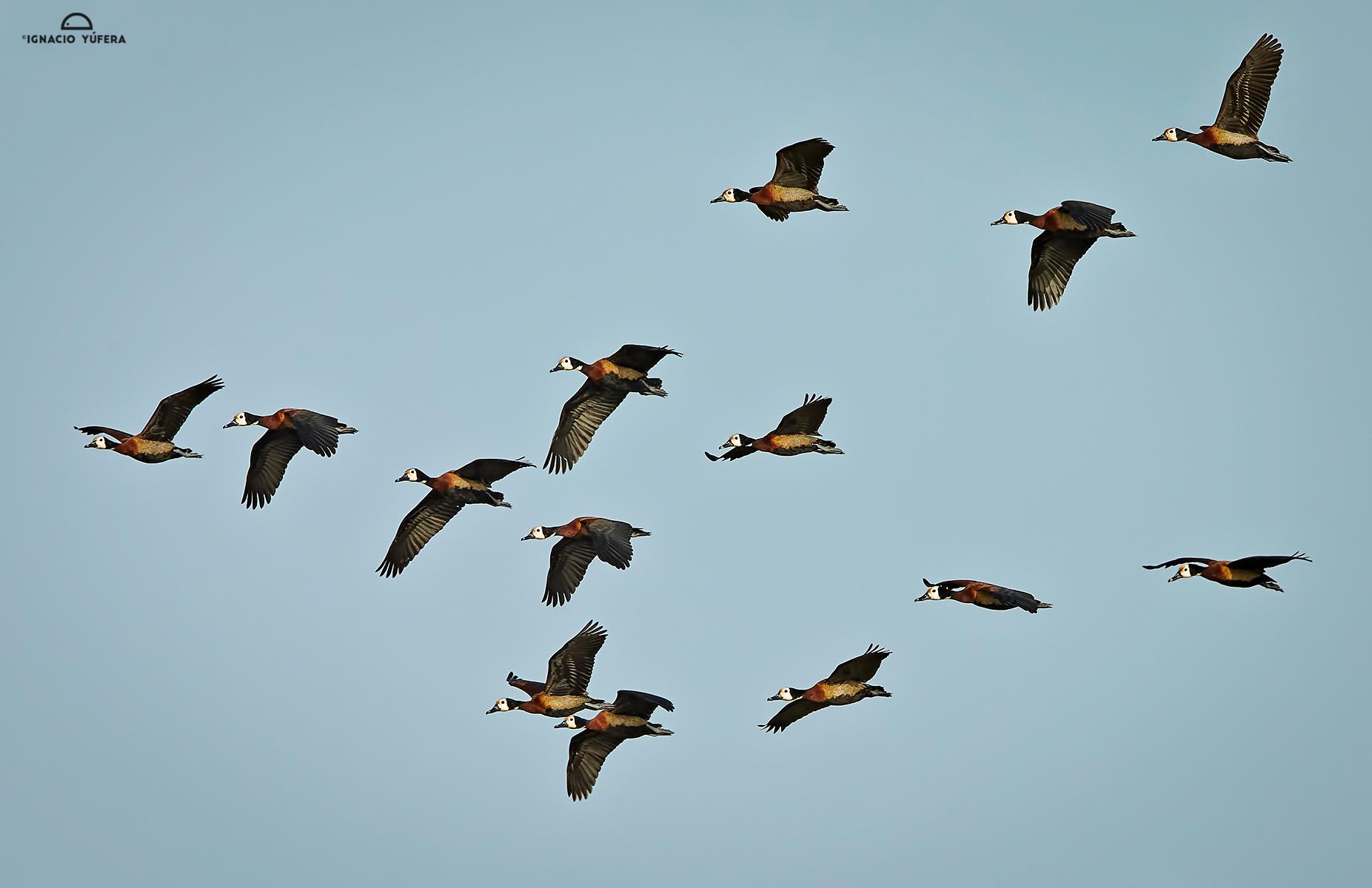 White-faced-whistling-ducks