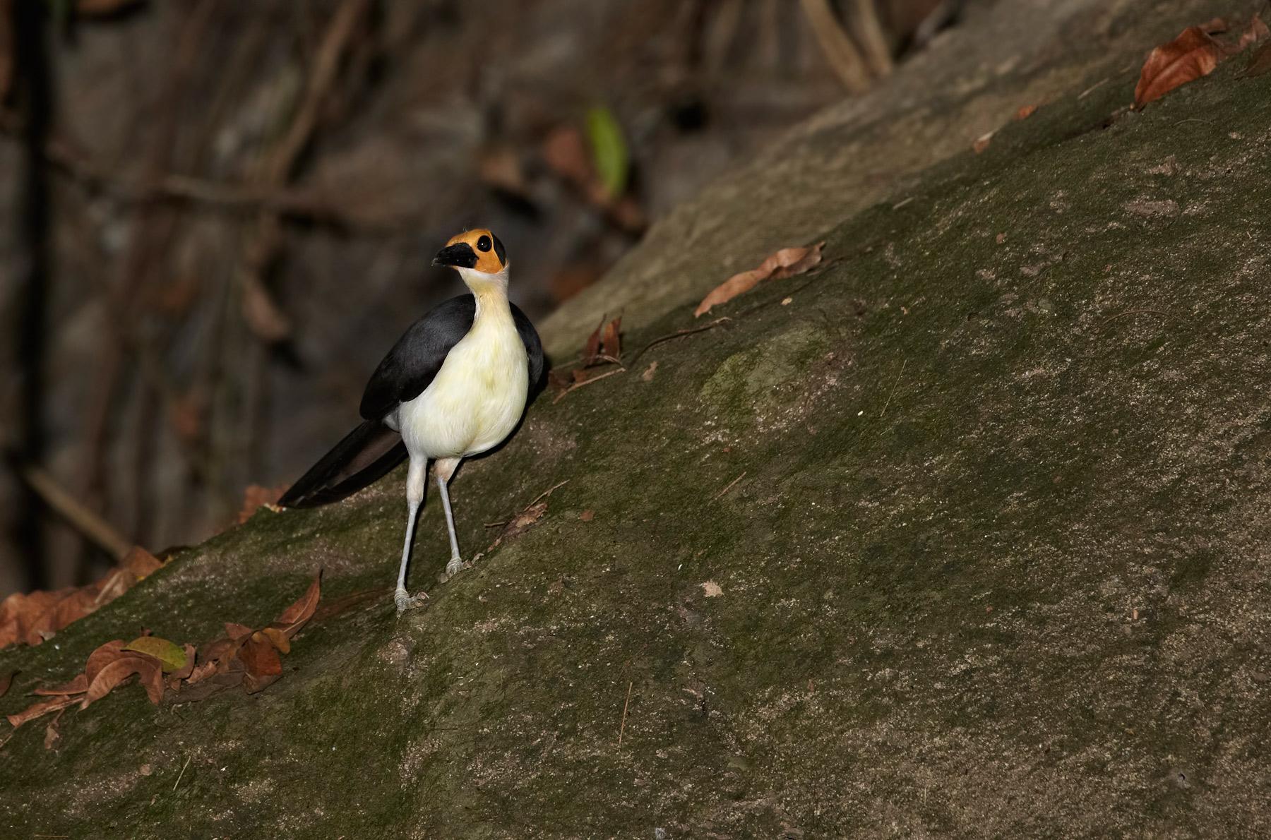 White-necked Picathartes