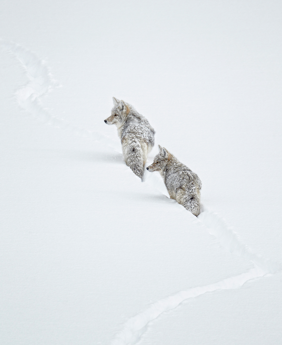Winter-coyotes