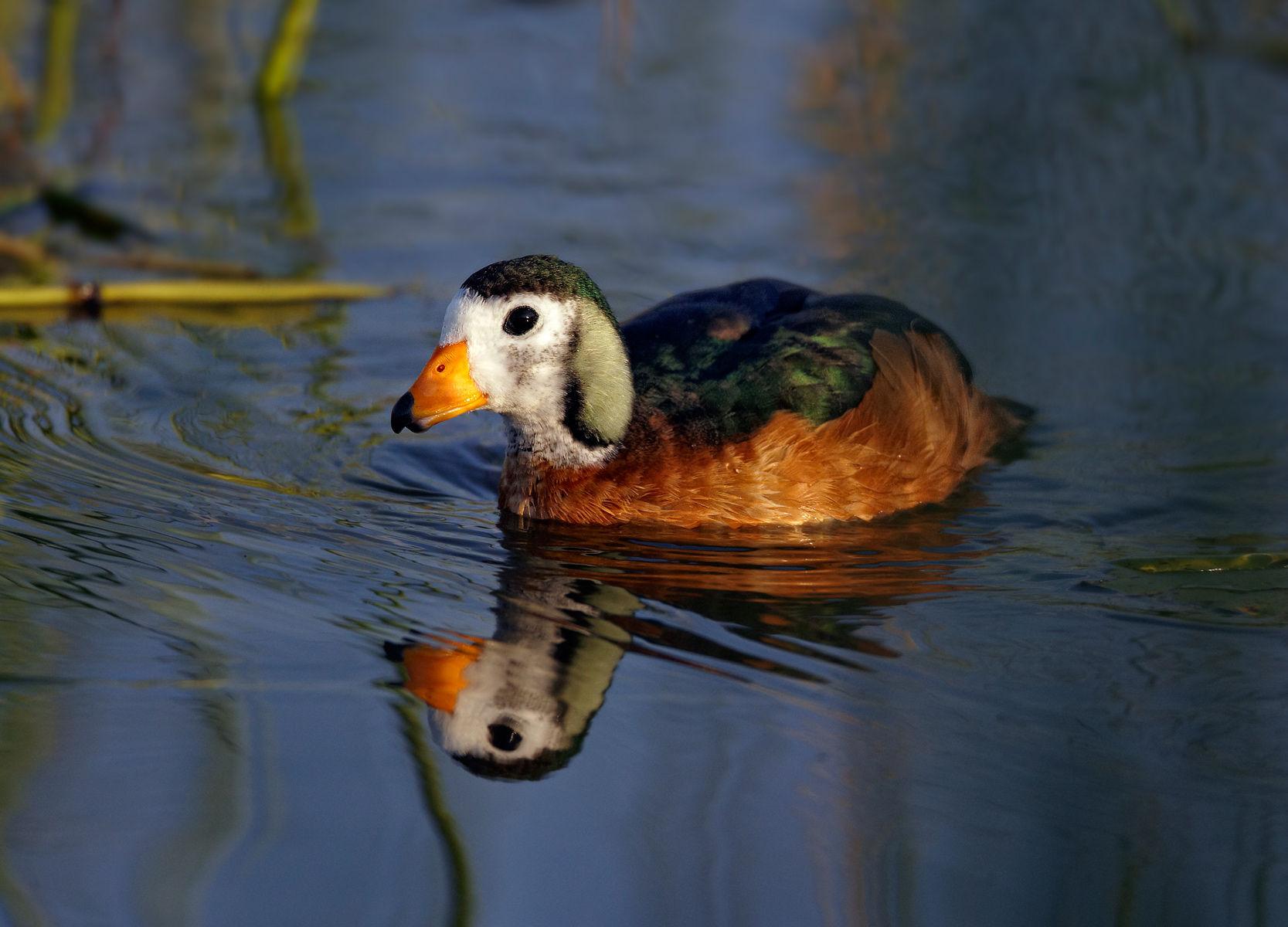 African Pigmy Goose
