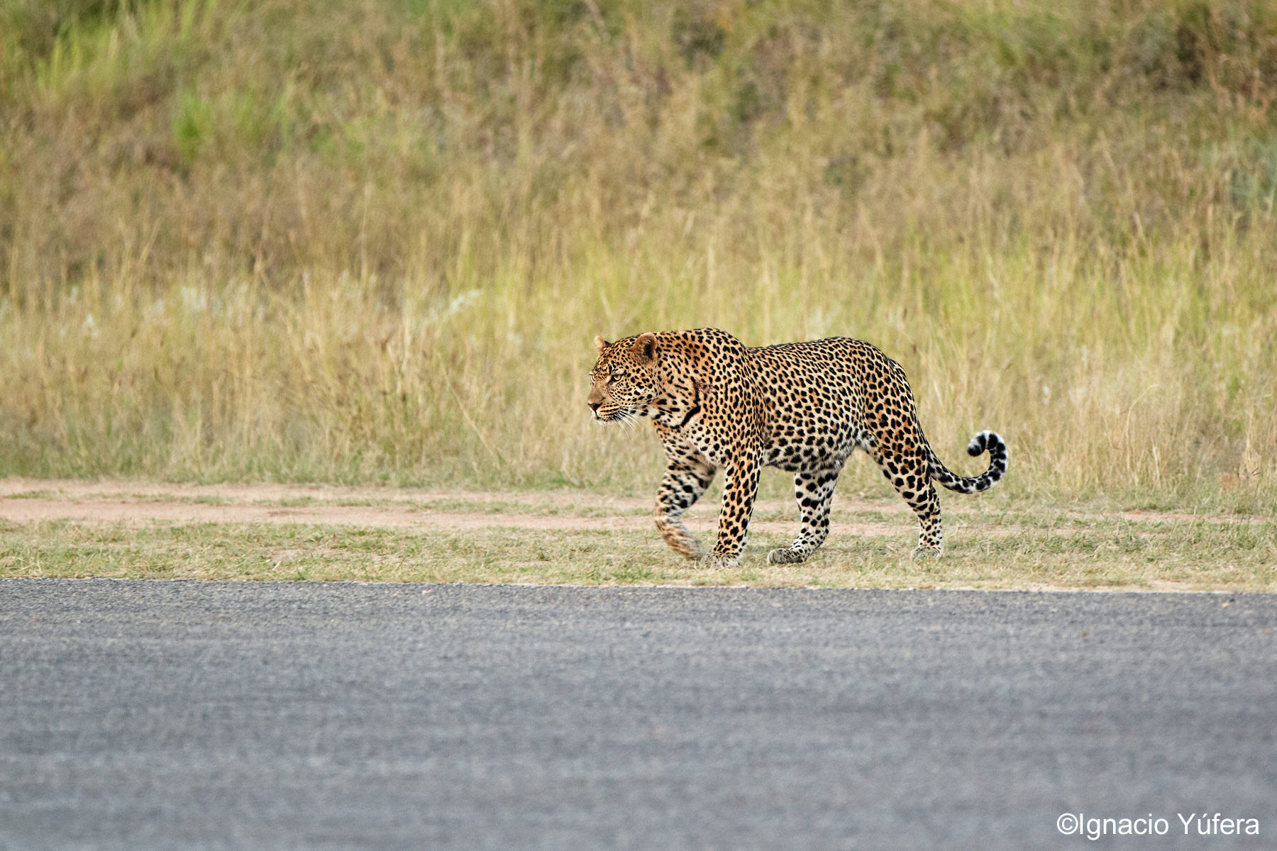 Airstrip Leopard