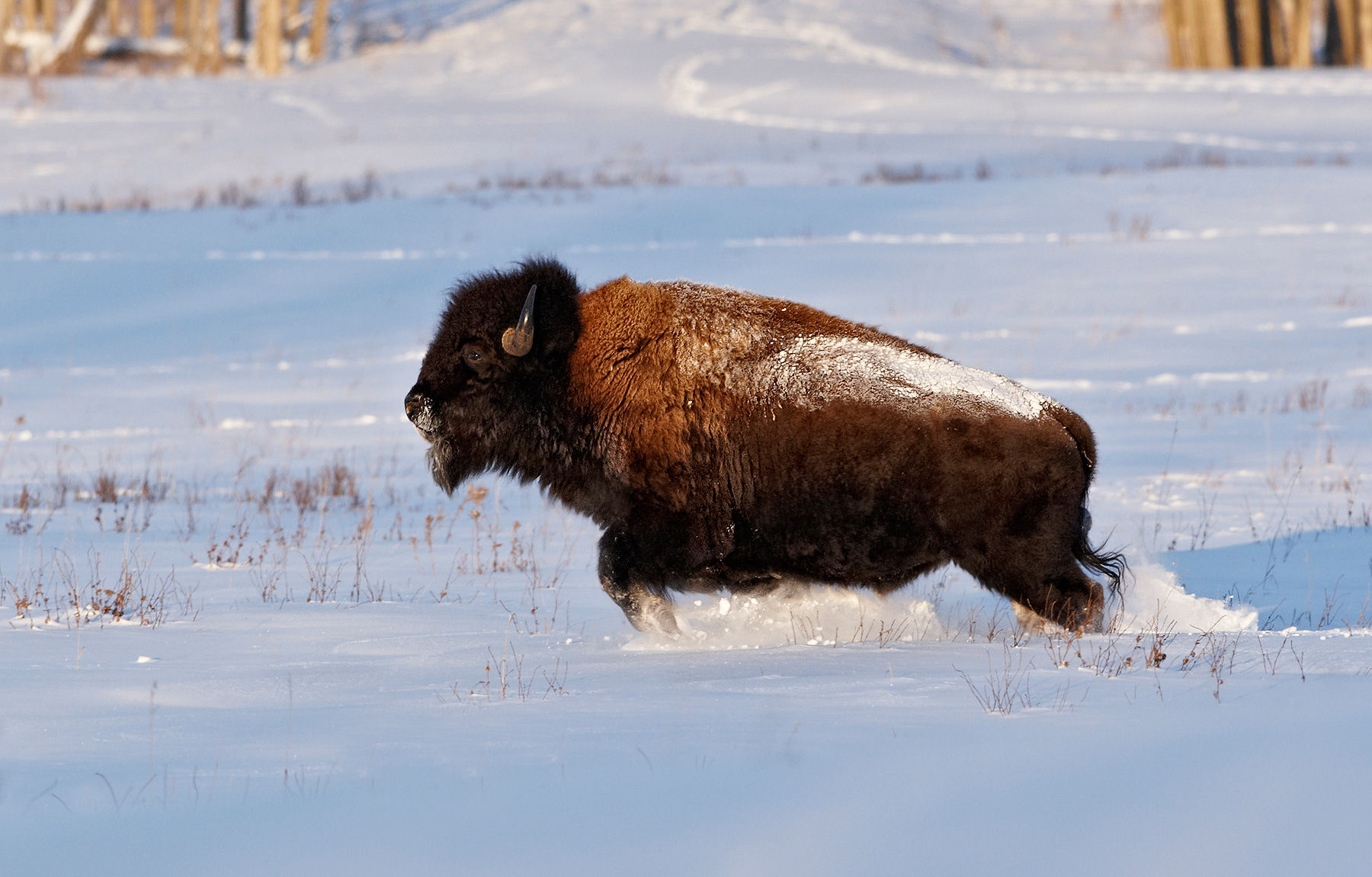 American Bison (Bison bison) running in snow, Alberta, Canada, January