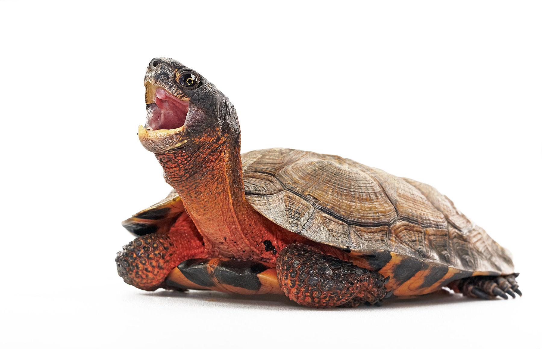 American Wood Turtle