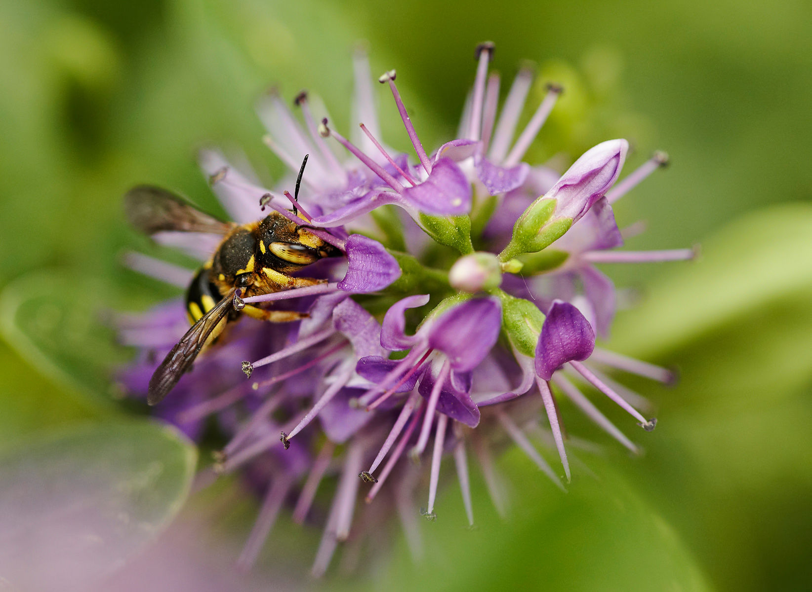 anthidium bee