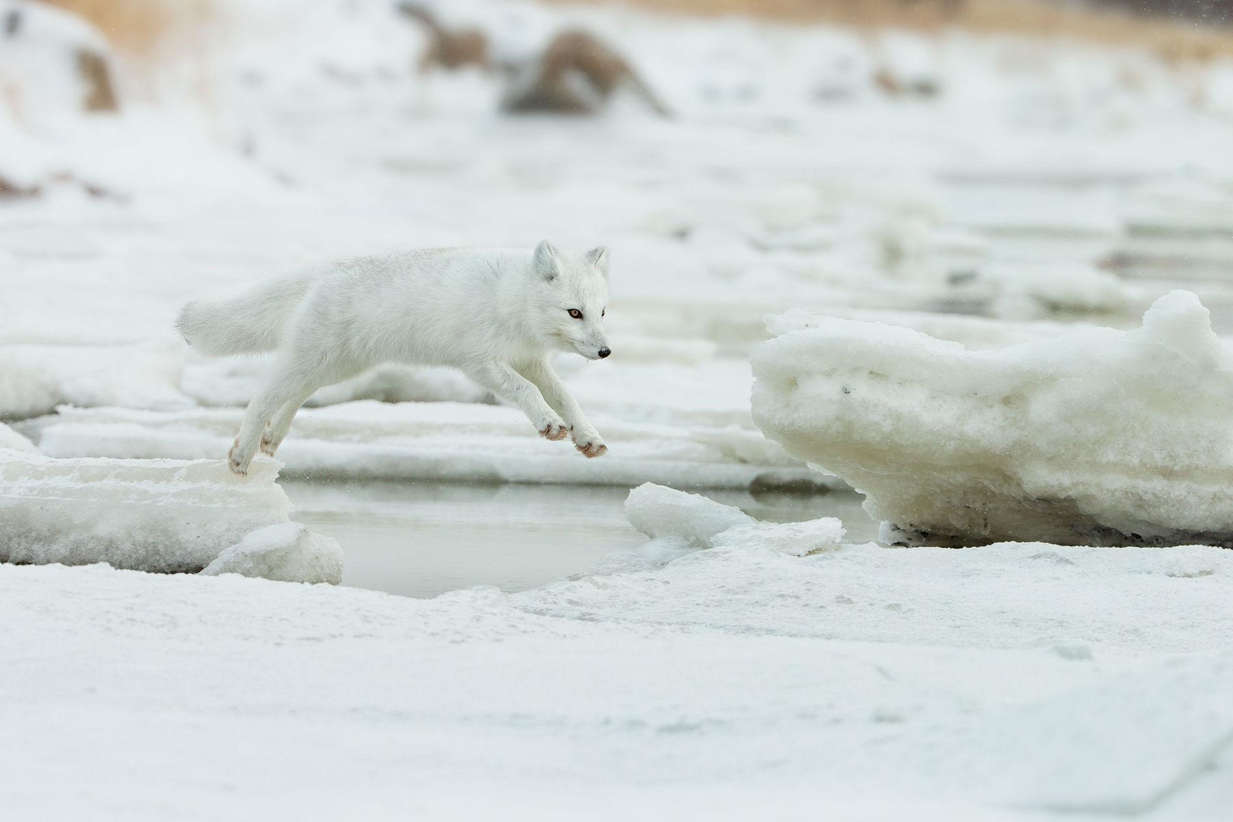 artic fox jump
