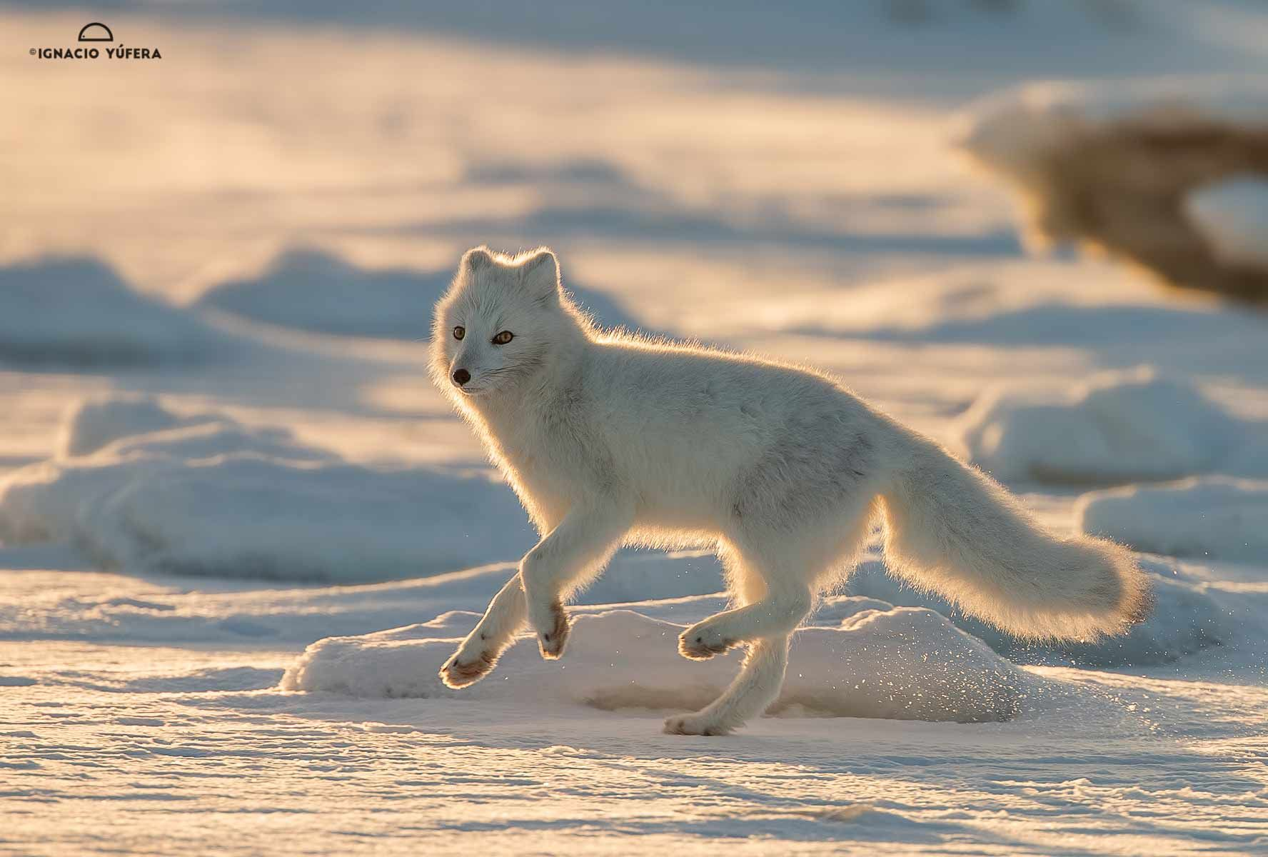 Arctic Fox Backlit