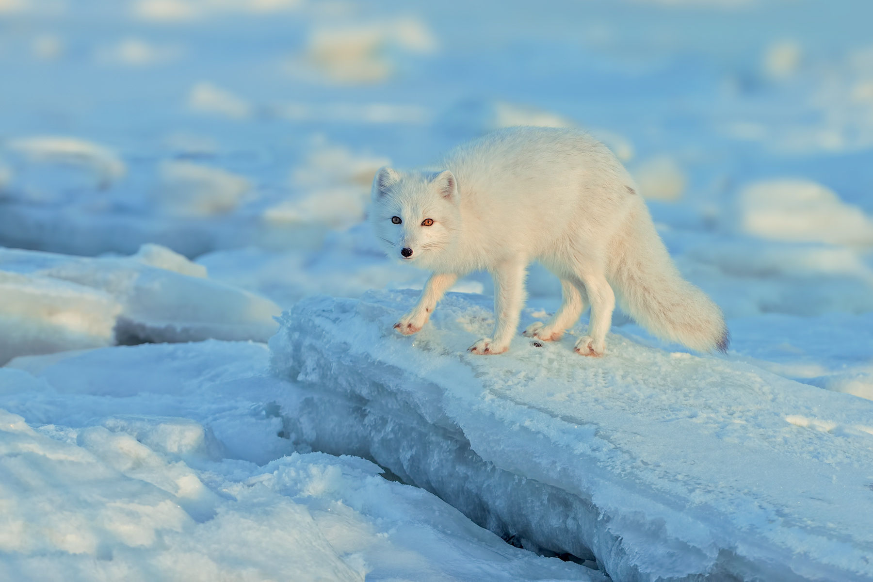 Arctic Fox Blue