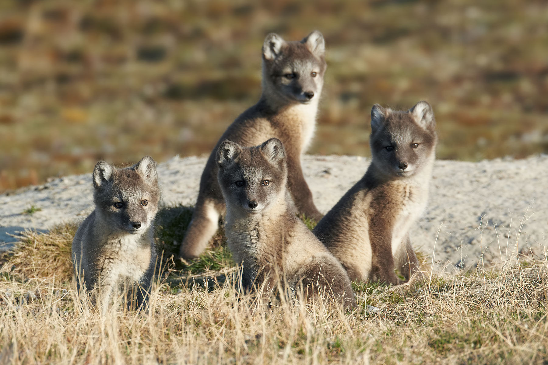Arctic Fox Cubs