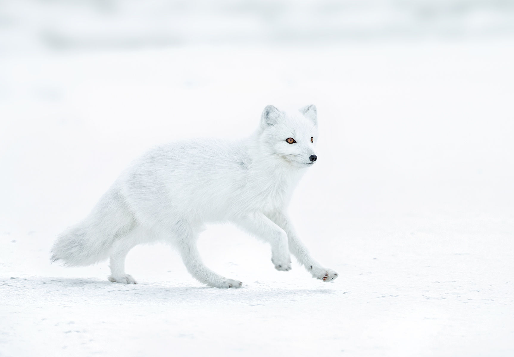 Arctic Fox Hikey