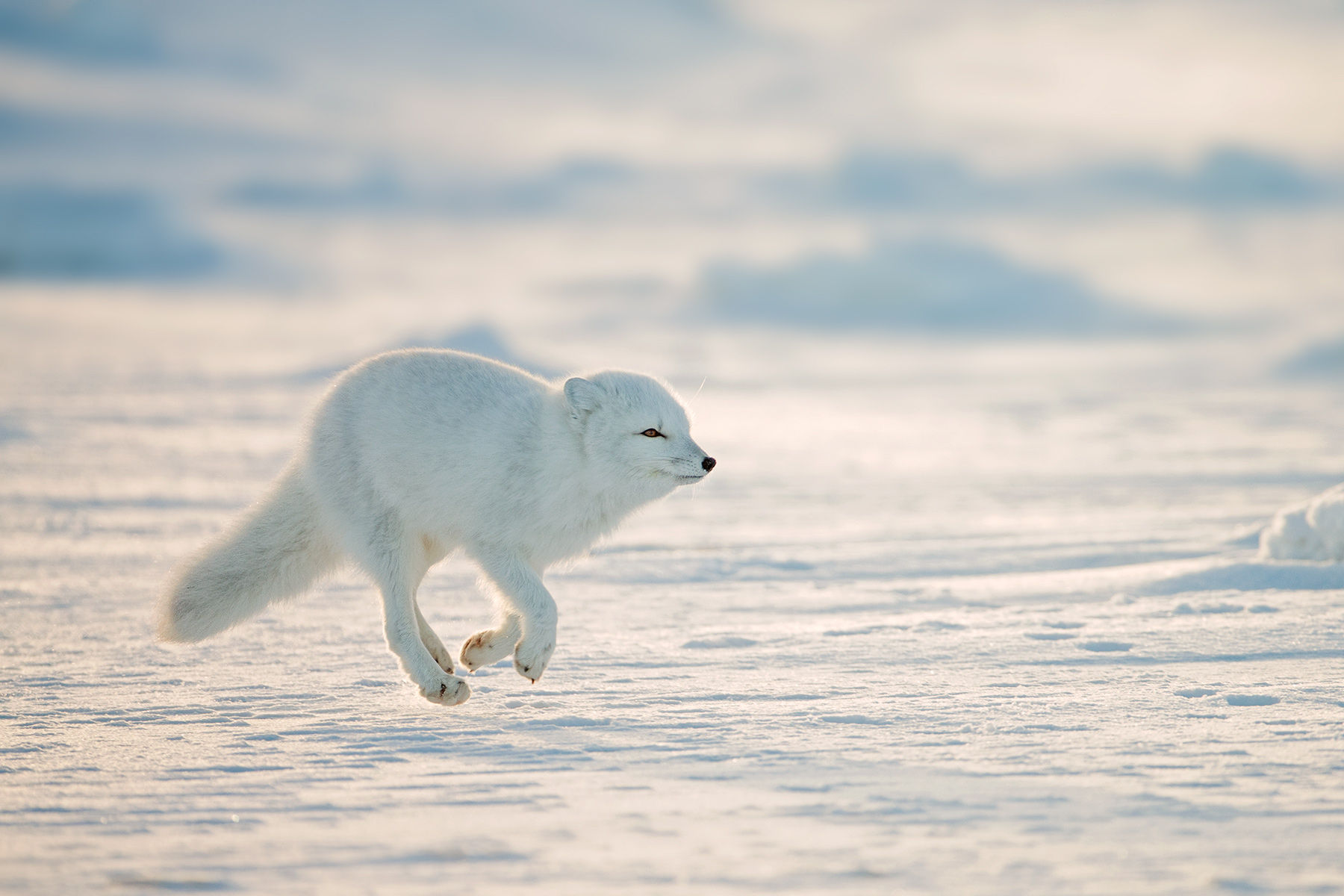 Arctic Fox Ice Run