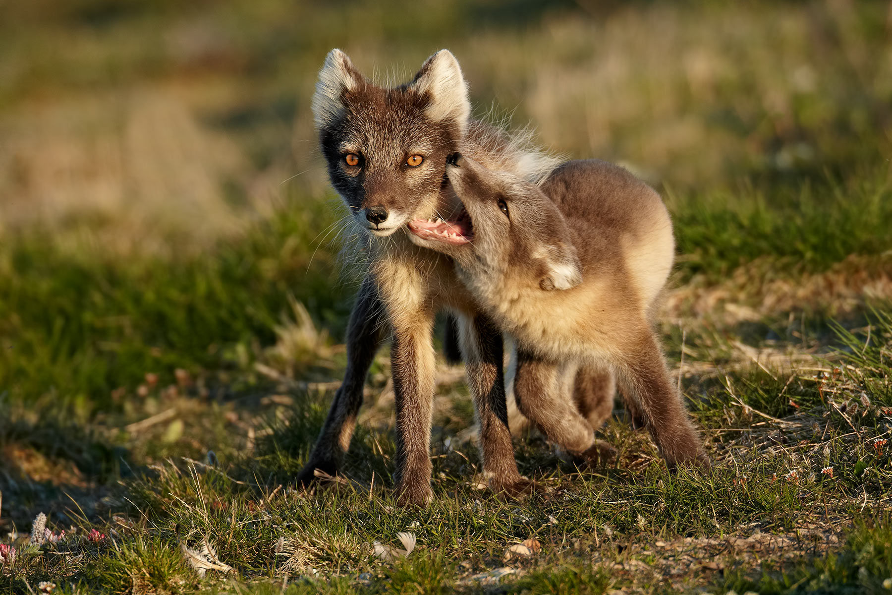 Arctic Fox female with cub
