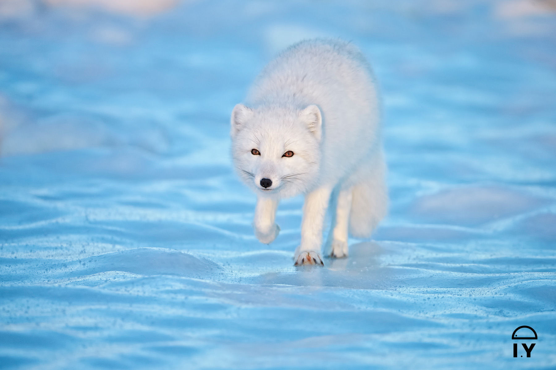 Arctic Fox on Ice