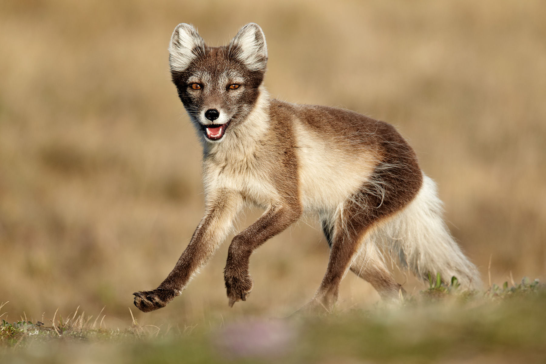 Arctic Fox Trot
