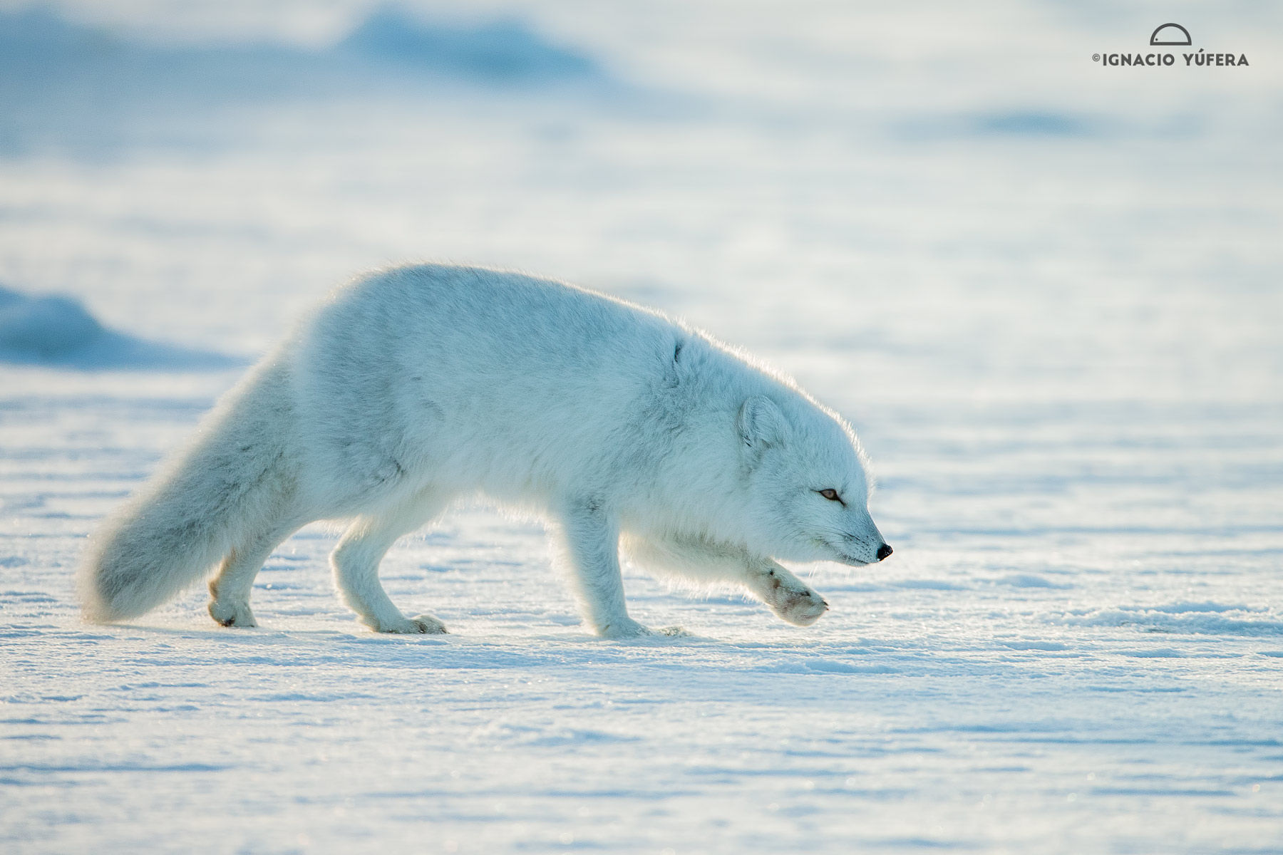 Arctic Fox Wind