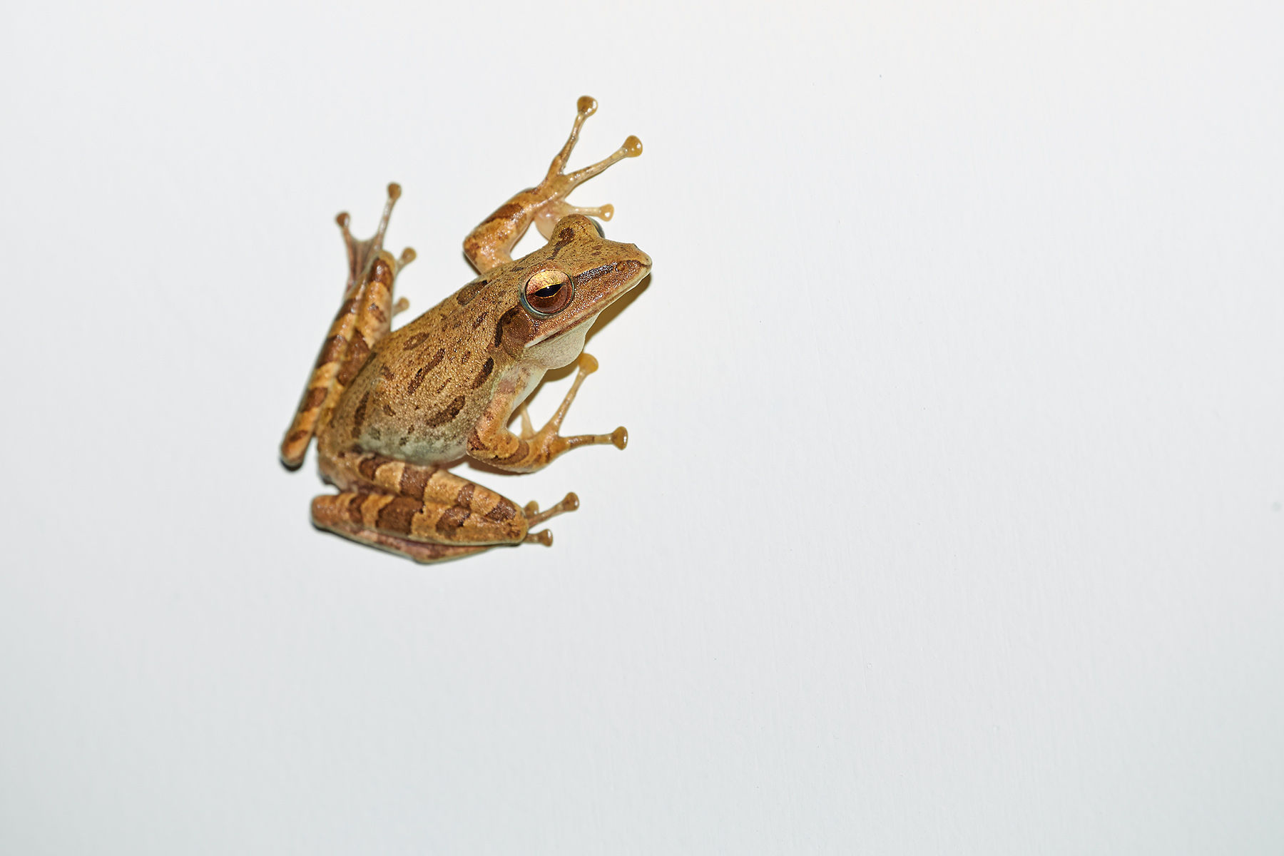 Asian Brown Treefrog