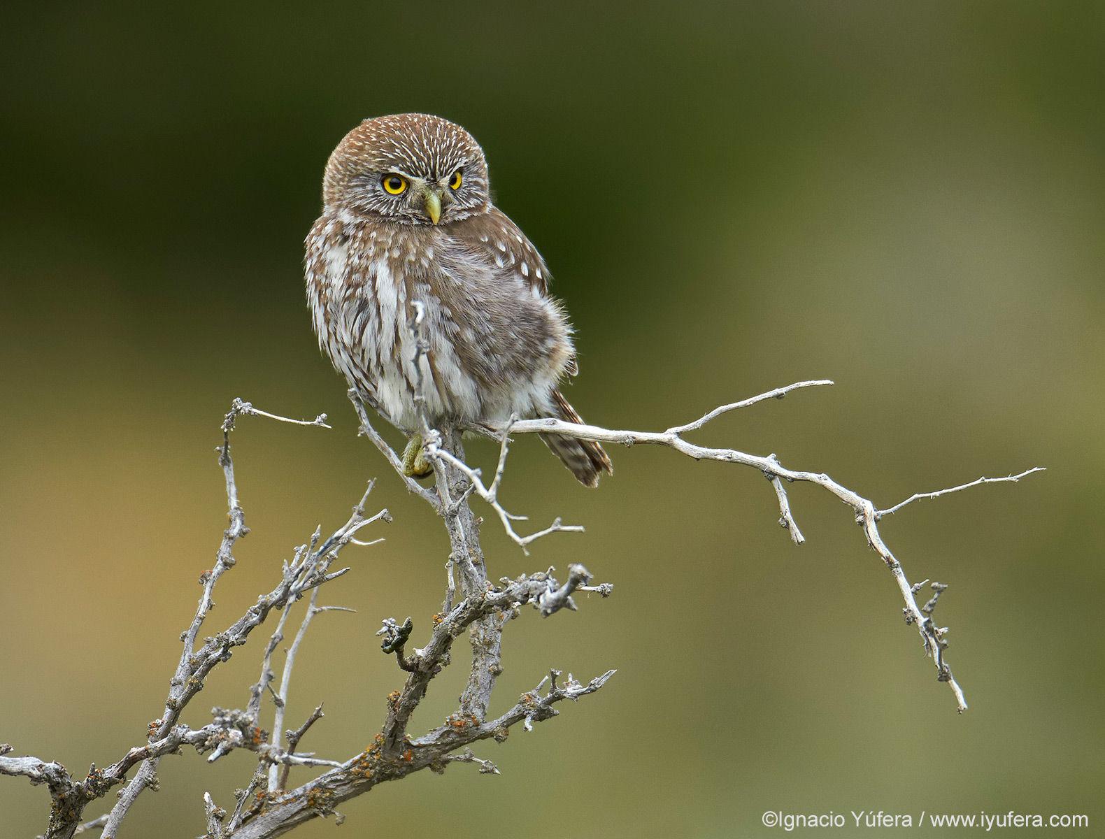 Austral Pigmy-owl