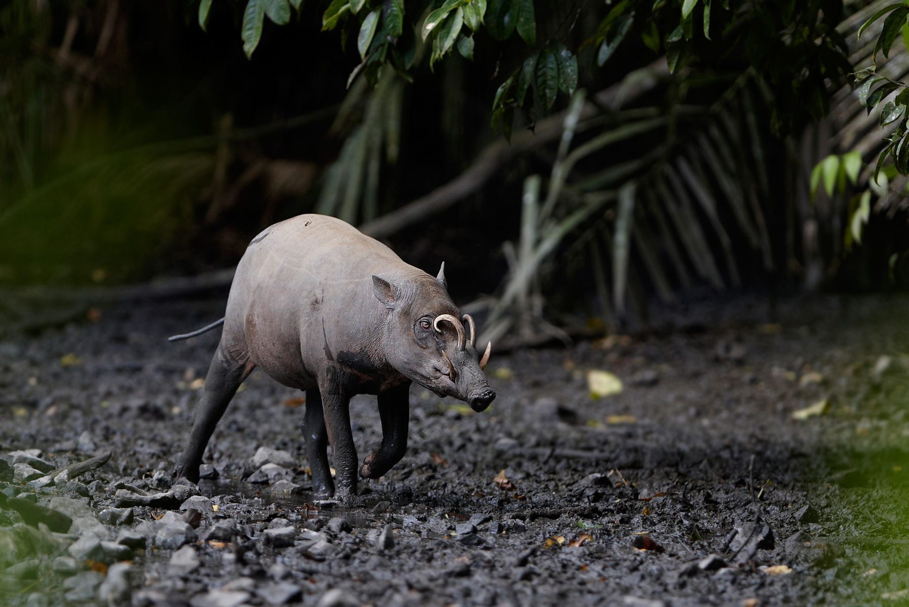 Babirusa boar