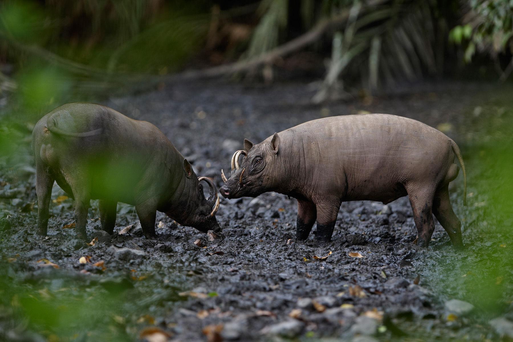 Babirusa boars