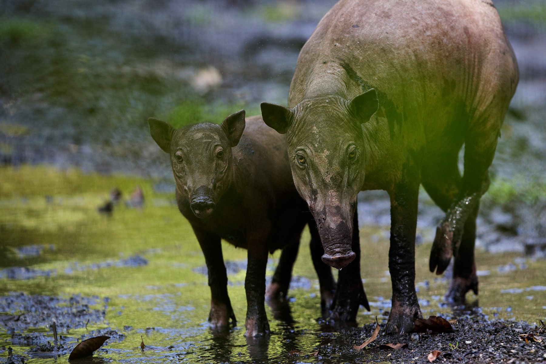 Babirusa boar female & young