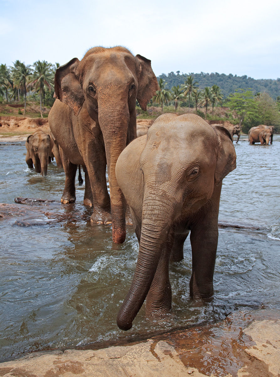 Indian elephants