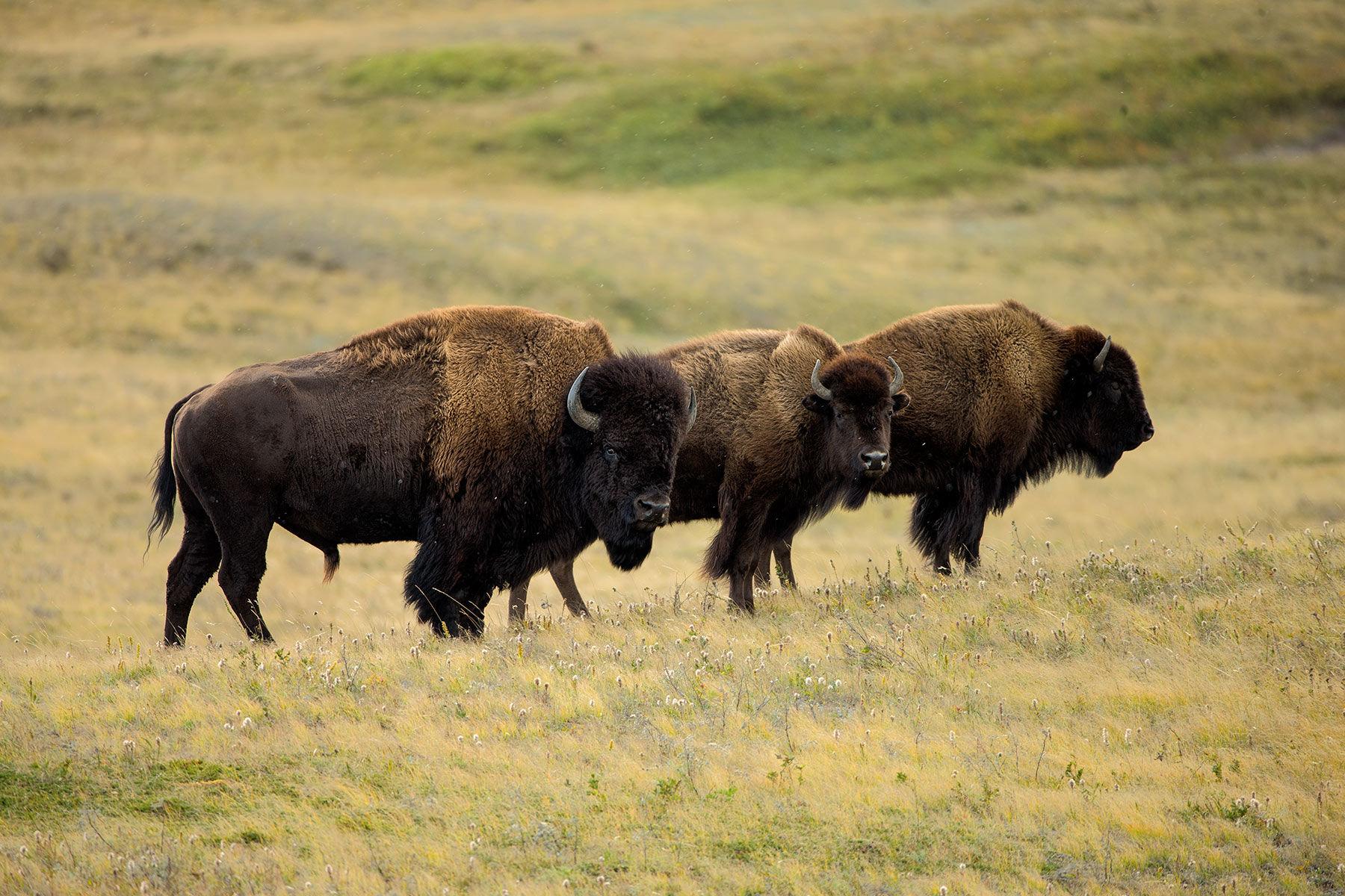 American Bison trio