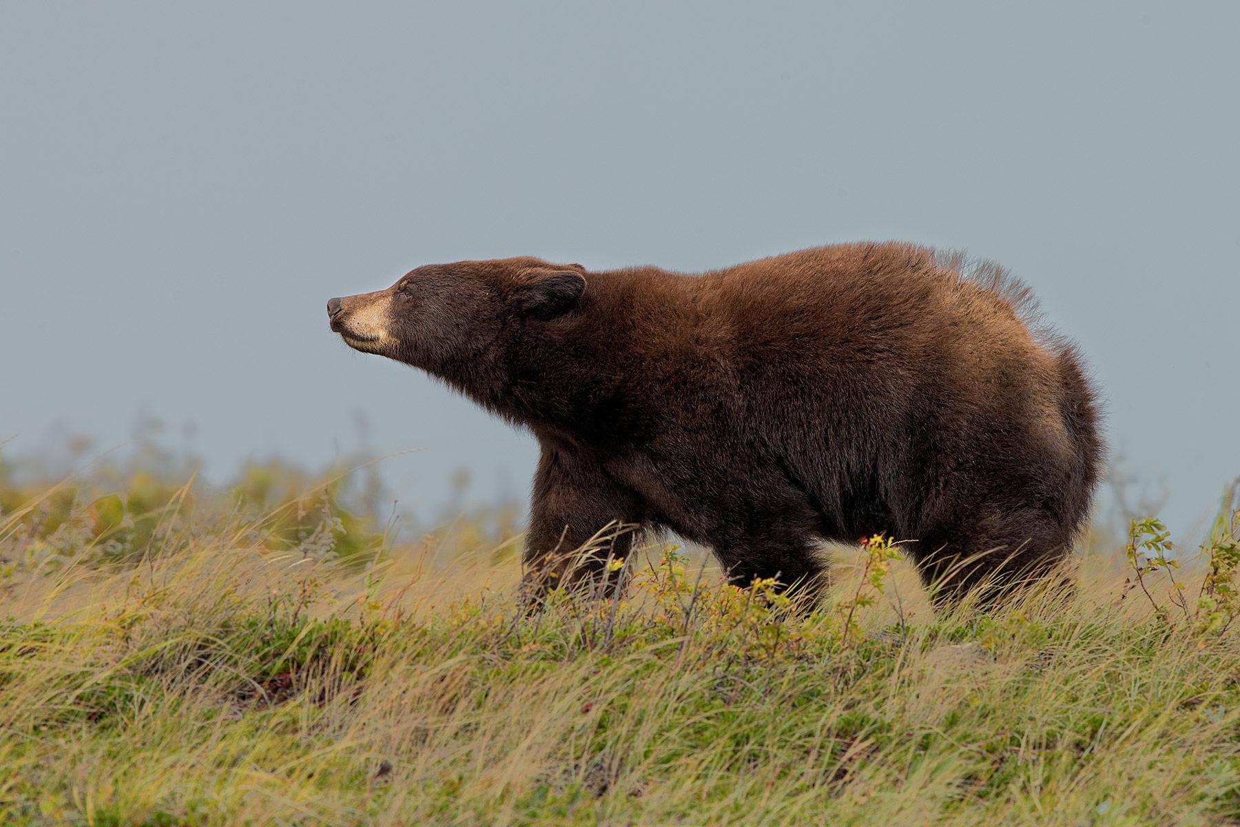 black bear wind