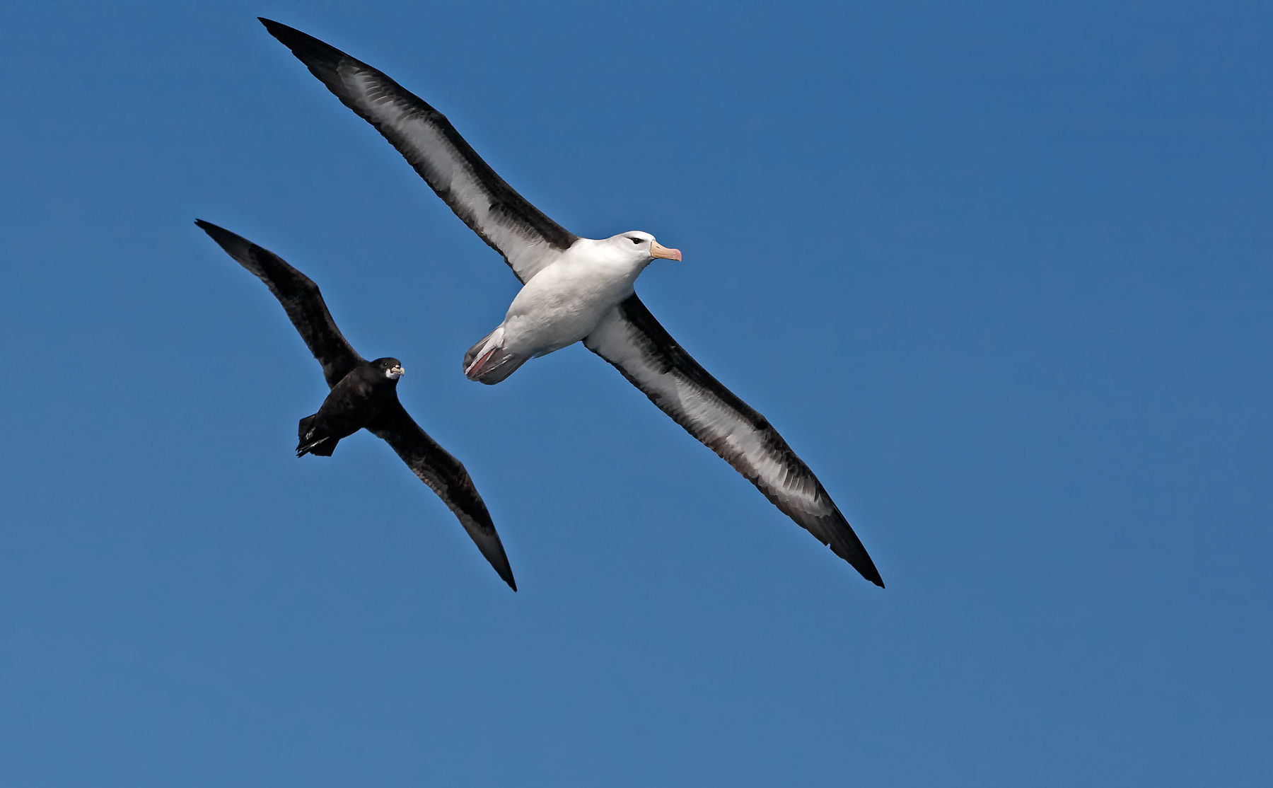 Black-browed Albatross and White-chinned Petrel
