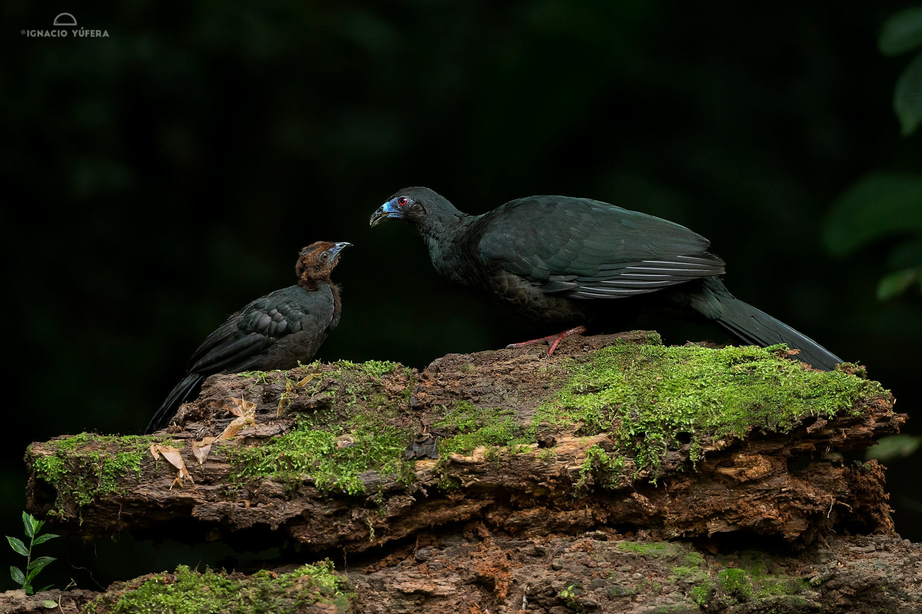 Black guan with chick