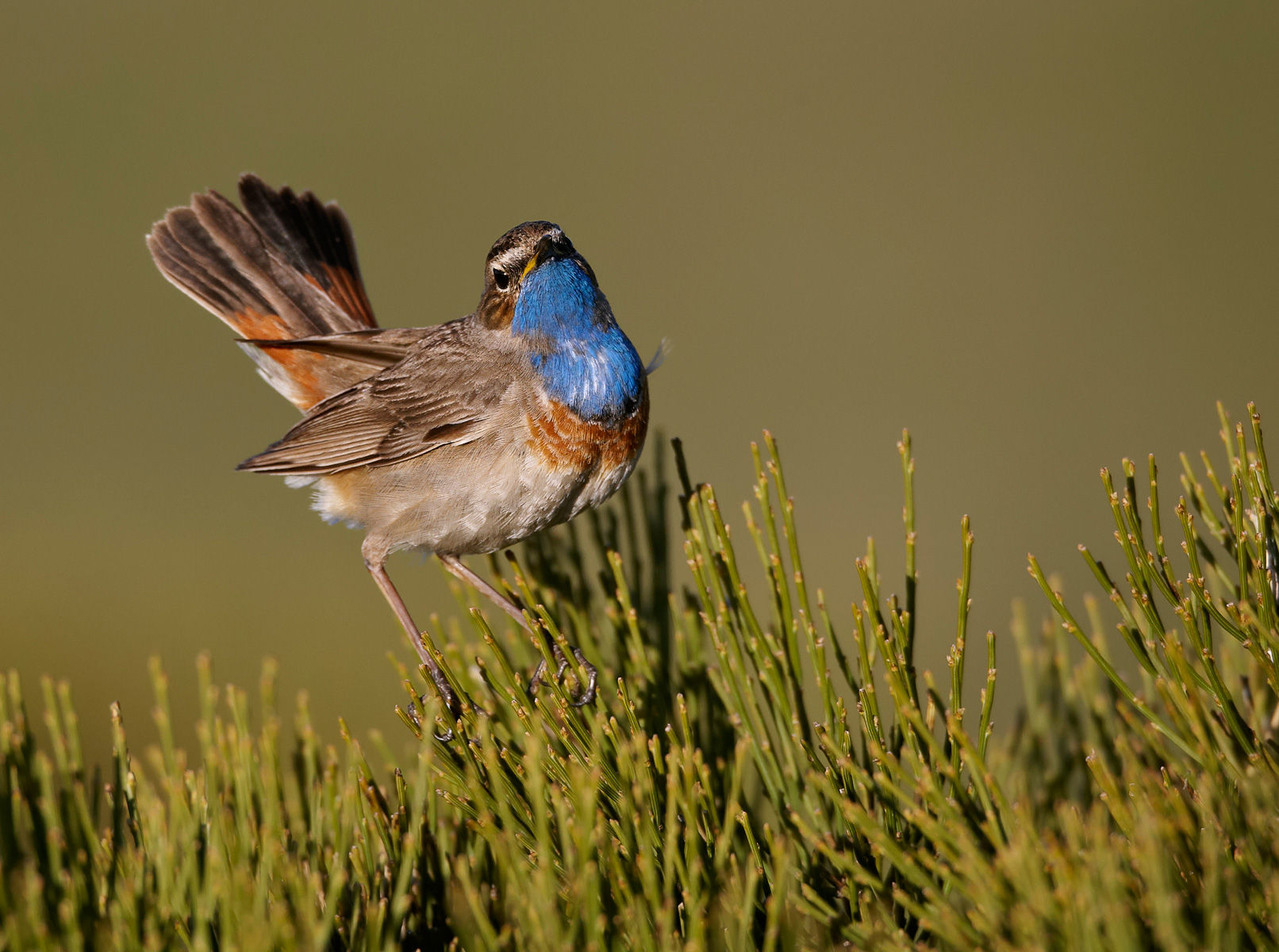 bluethroat displaying