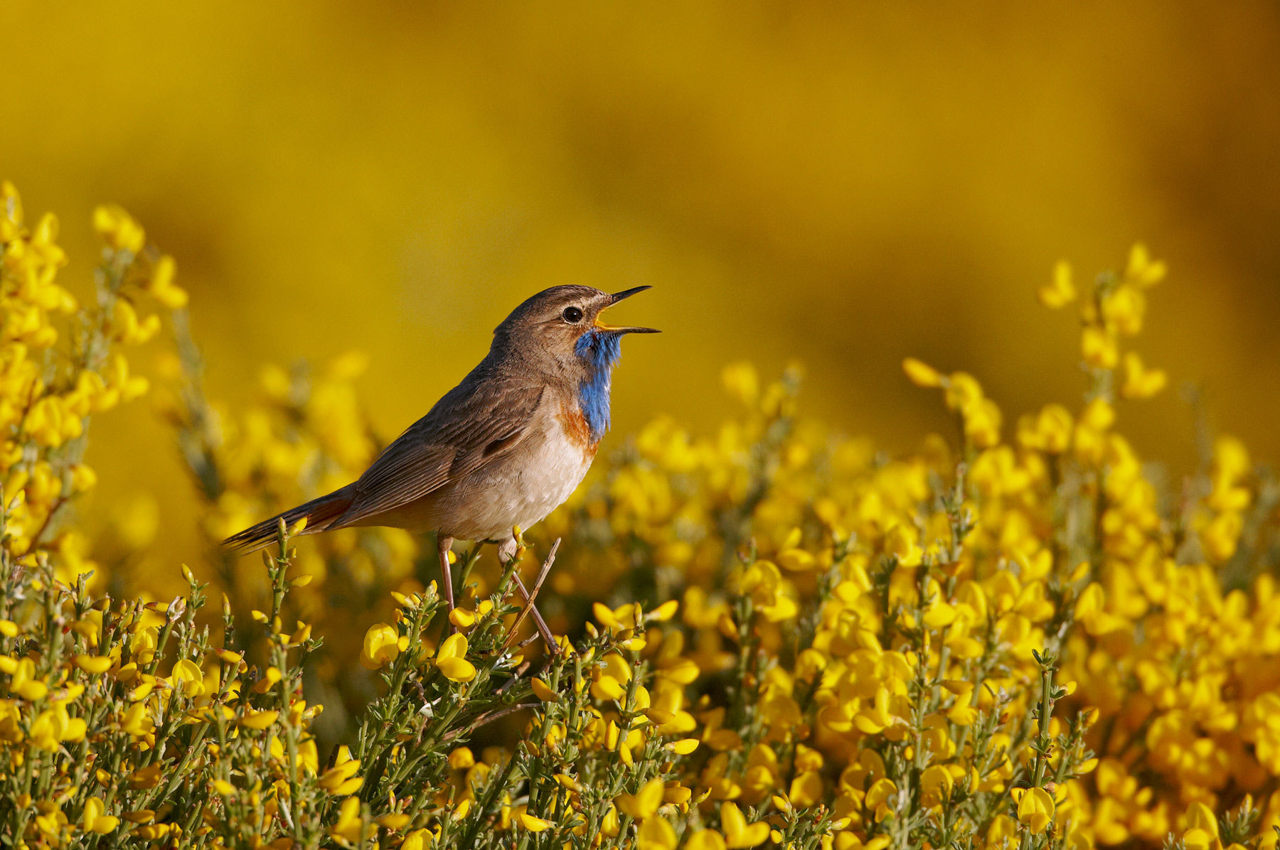 bluethroat on blooming broom