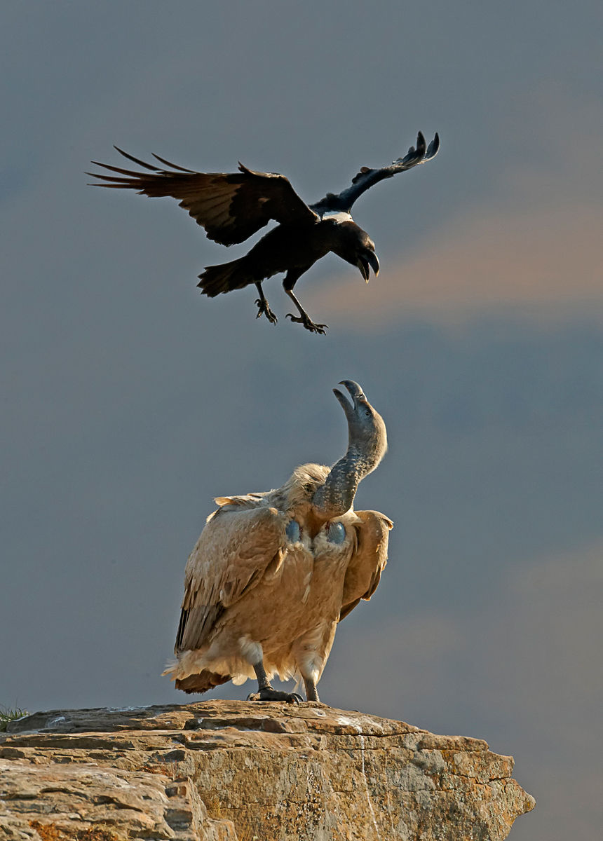 Cape Vulture and White-necked Raven