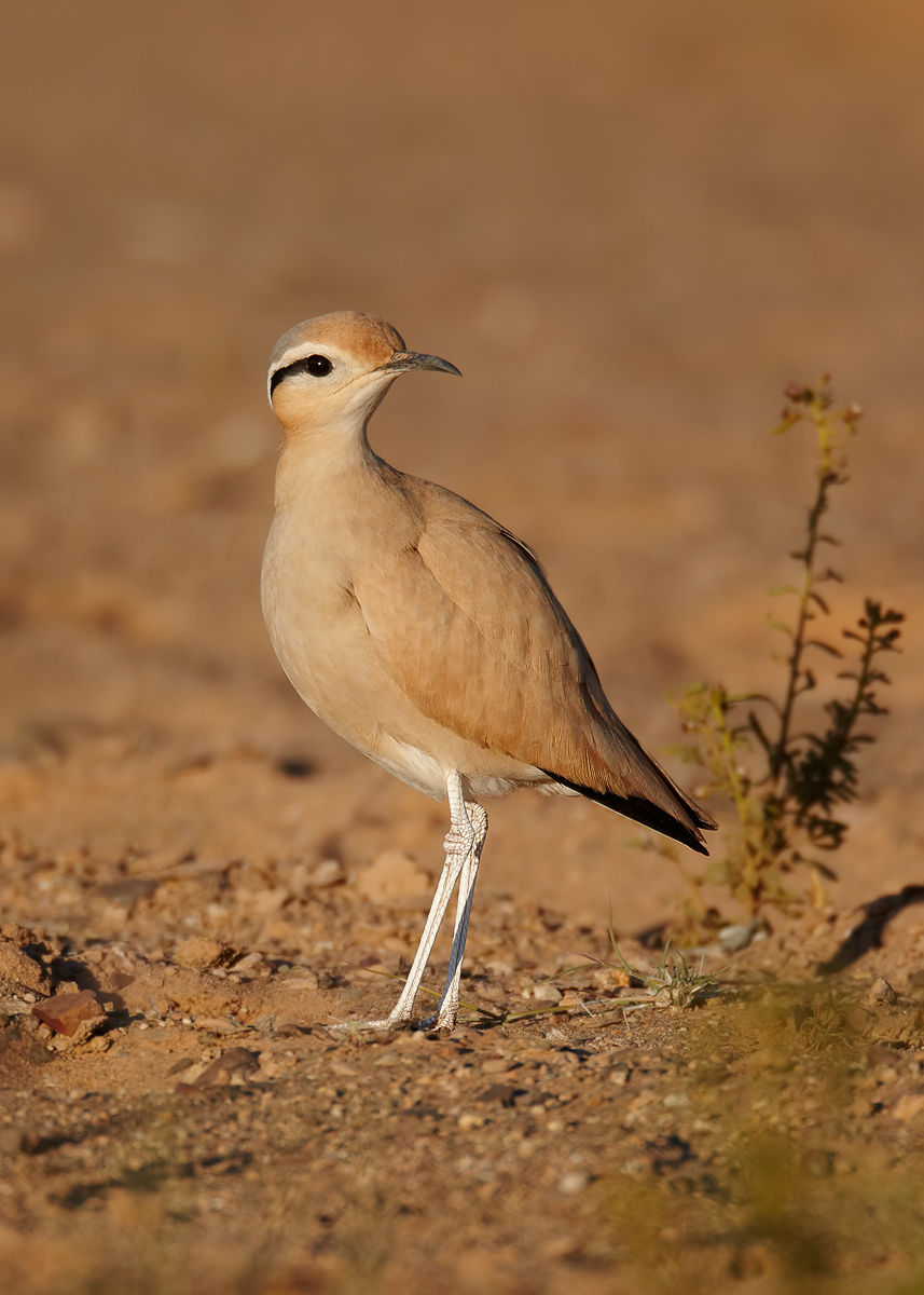 cream colored courser digging