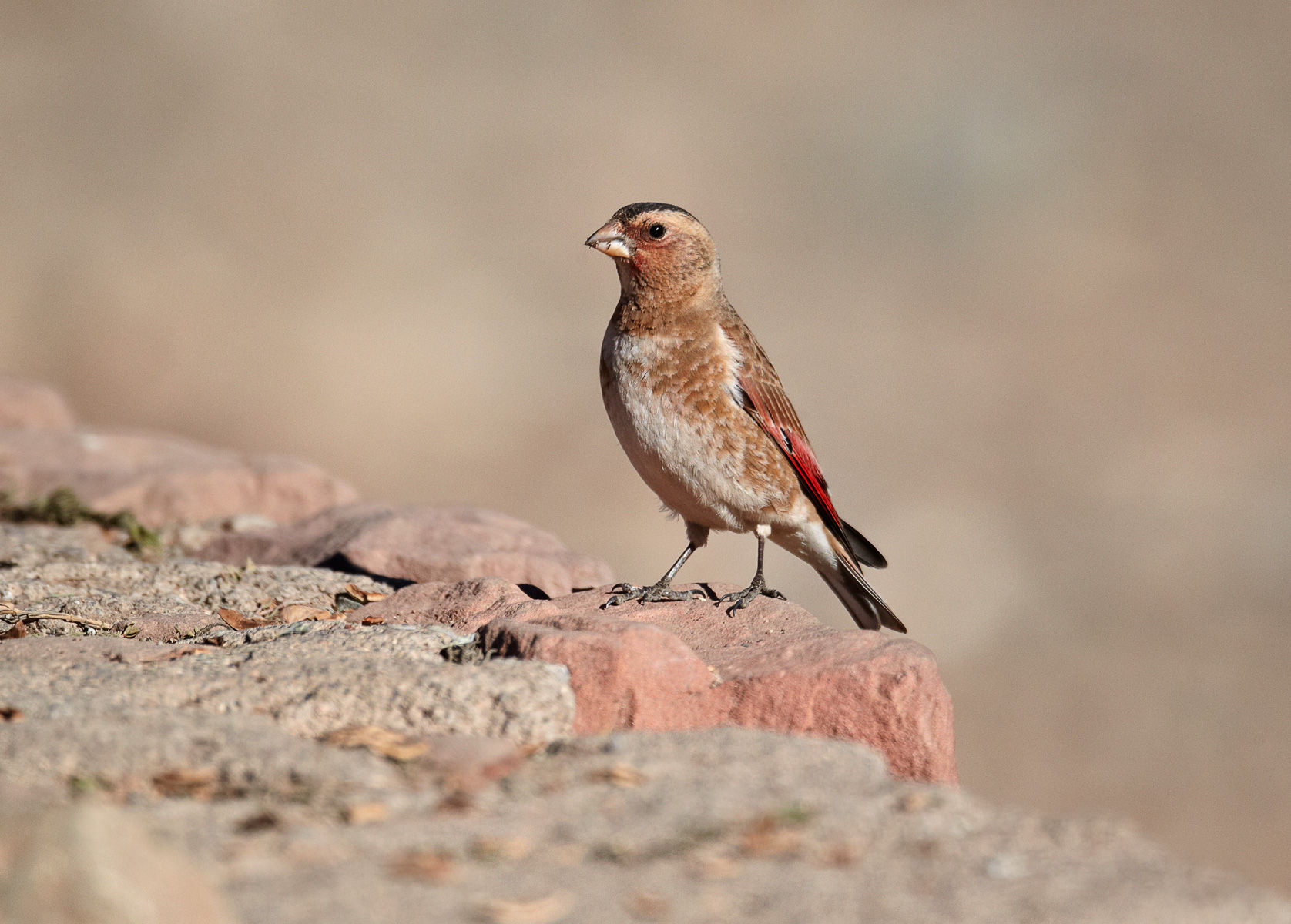 Crimson-winged Finch