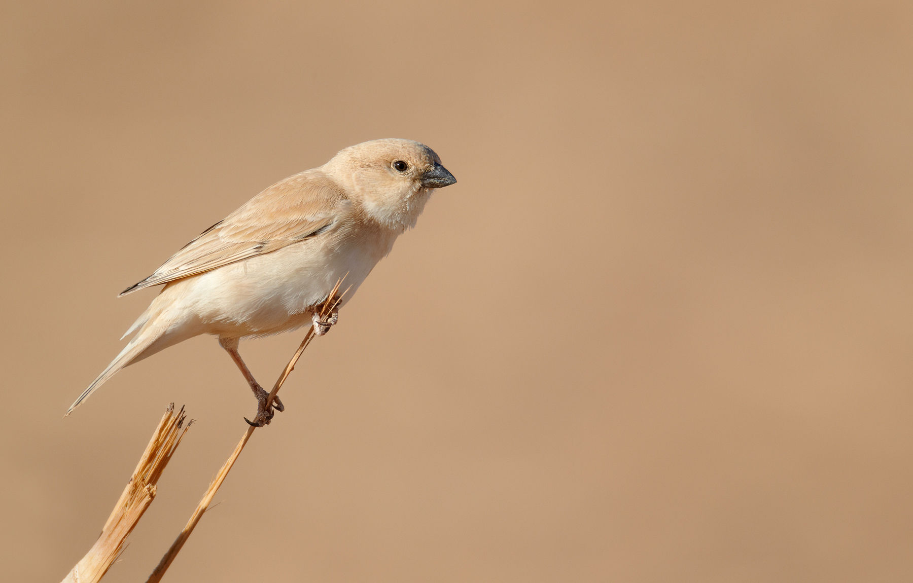 Desert Sparrow female