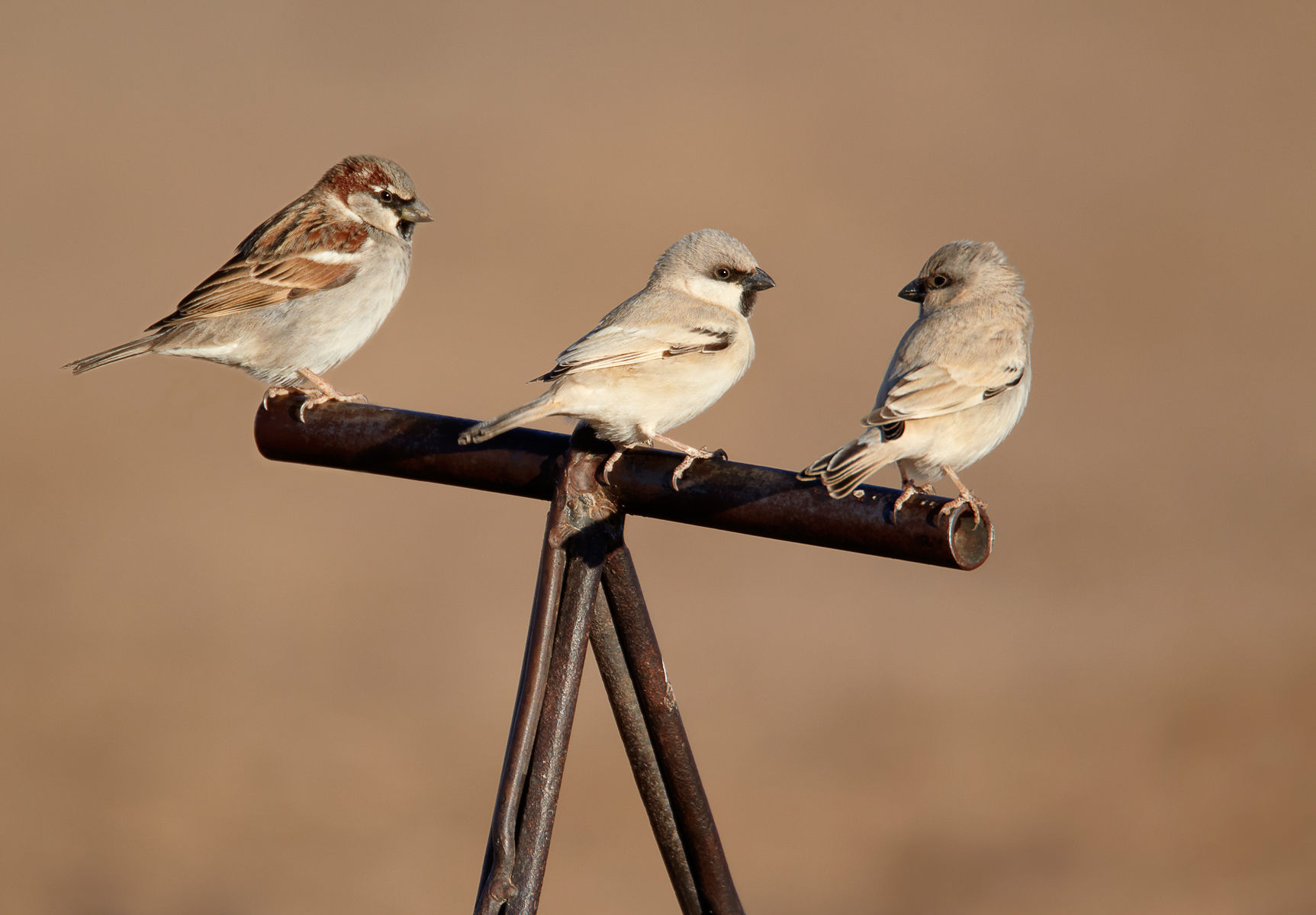 Desert Sparrow and House Sparrow