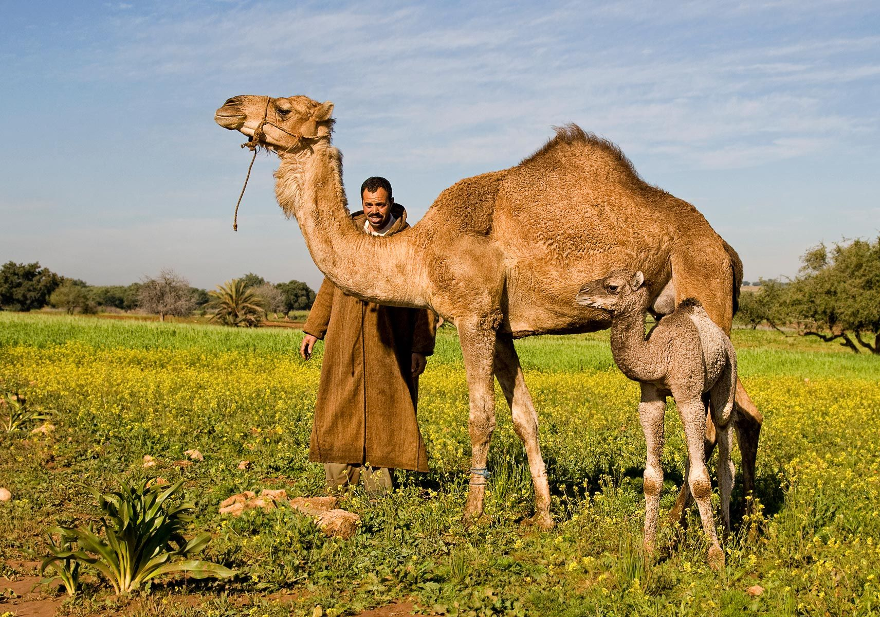 Man with dromedaries