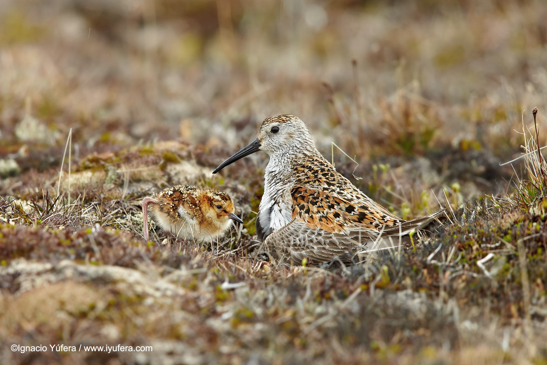 Dunlin with chick