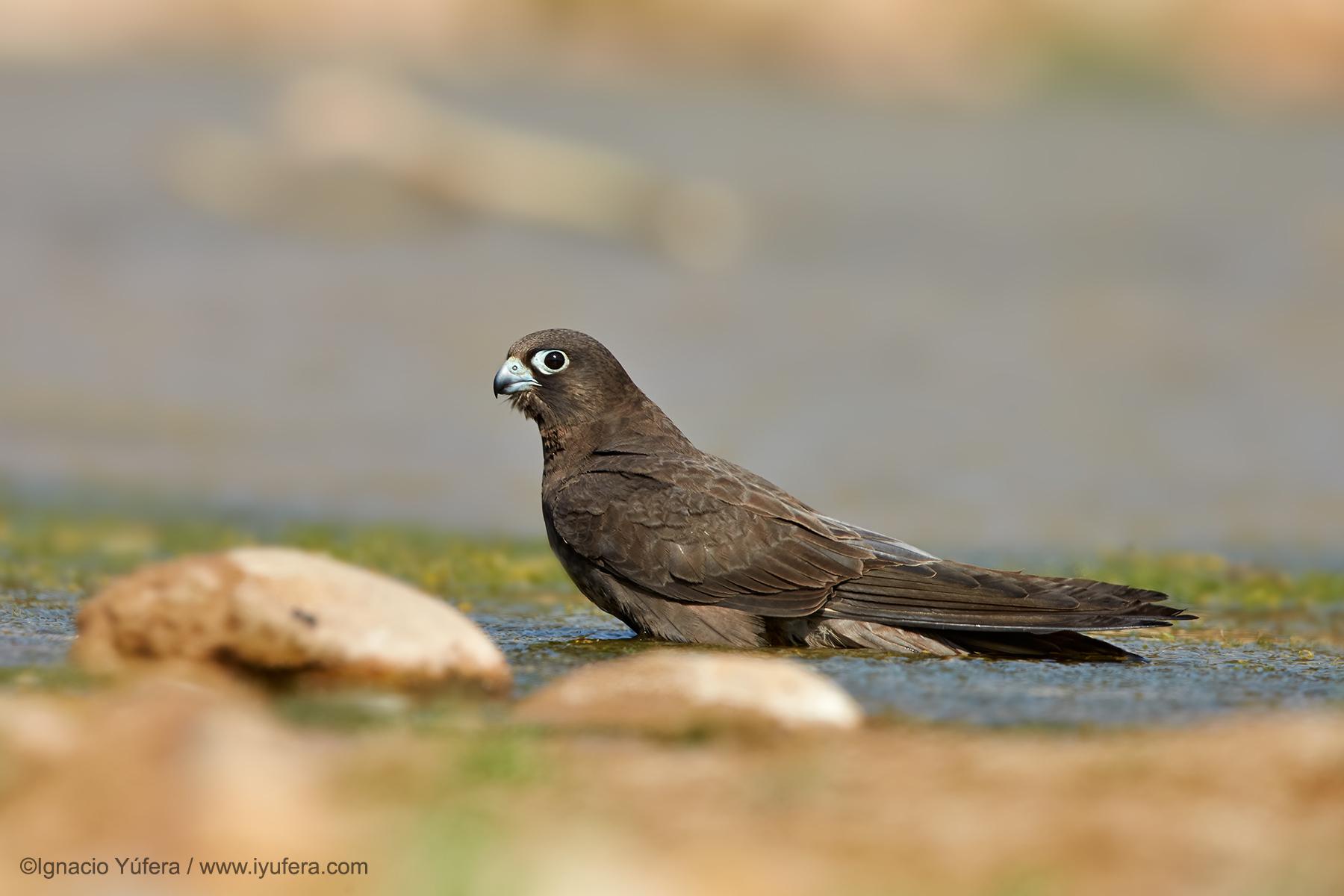 Dark Eleonora's Falcon